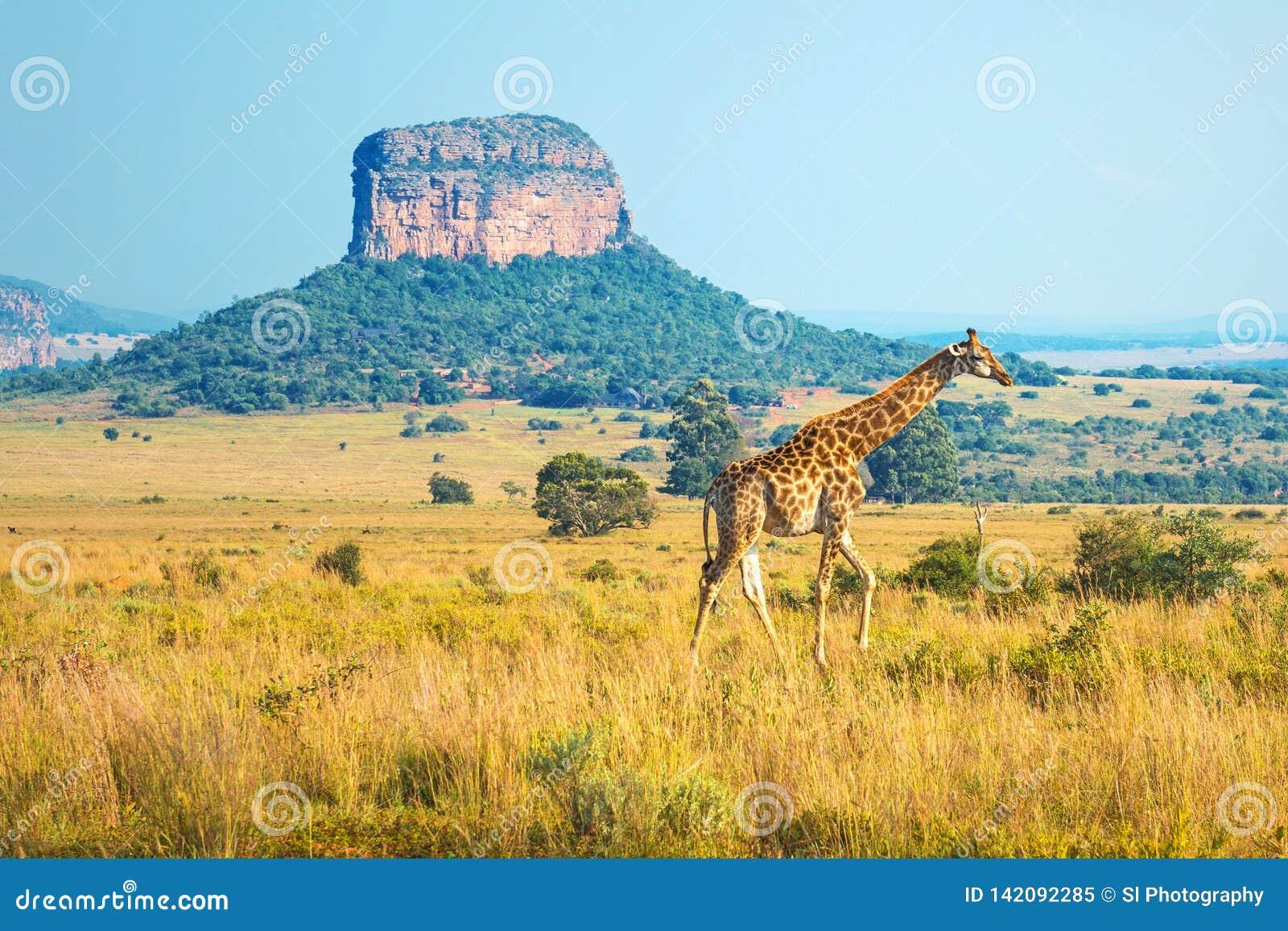Zonsopgang in Entabeni Safari Game Reserve, Zuid-Afrika