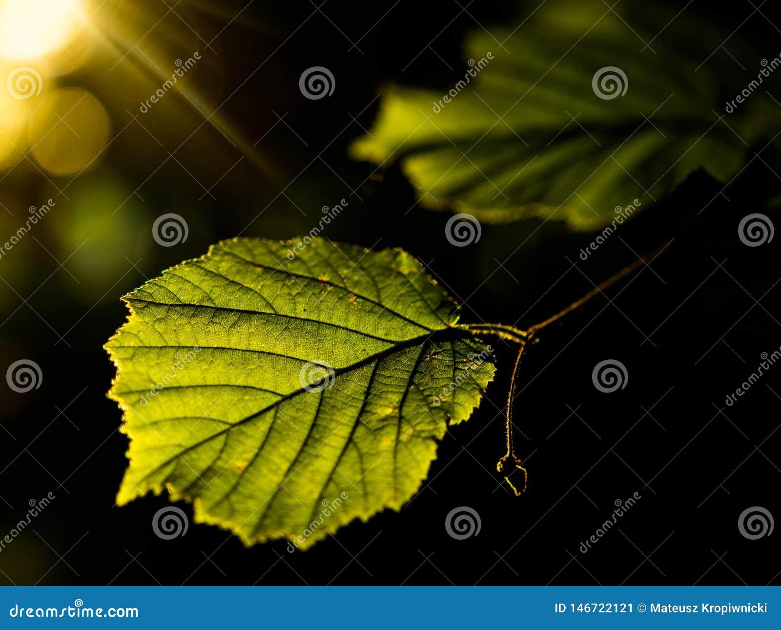 Zonsopgang in het park De gouden bladeren van de uur lichte verlichtende jonge zomer