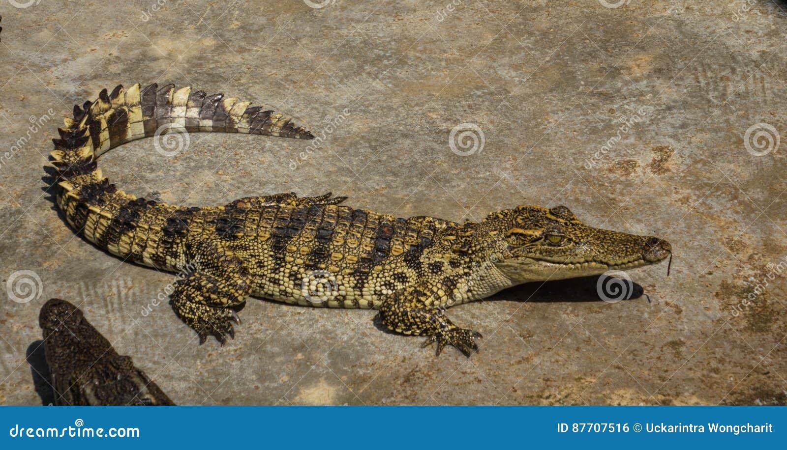 Zoo de la Thaïlande d eau de mer de crocodile