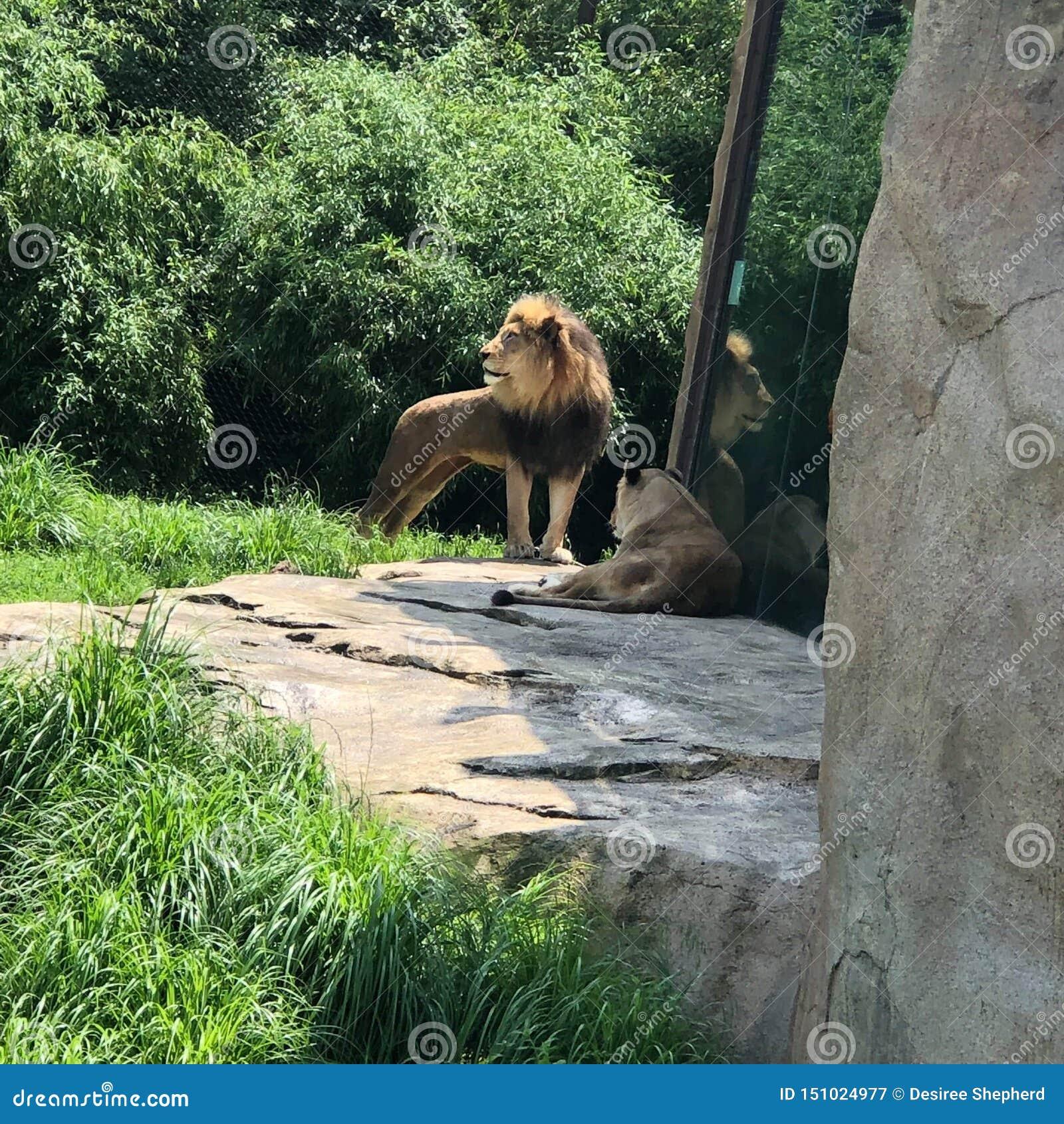 Zoo de lion