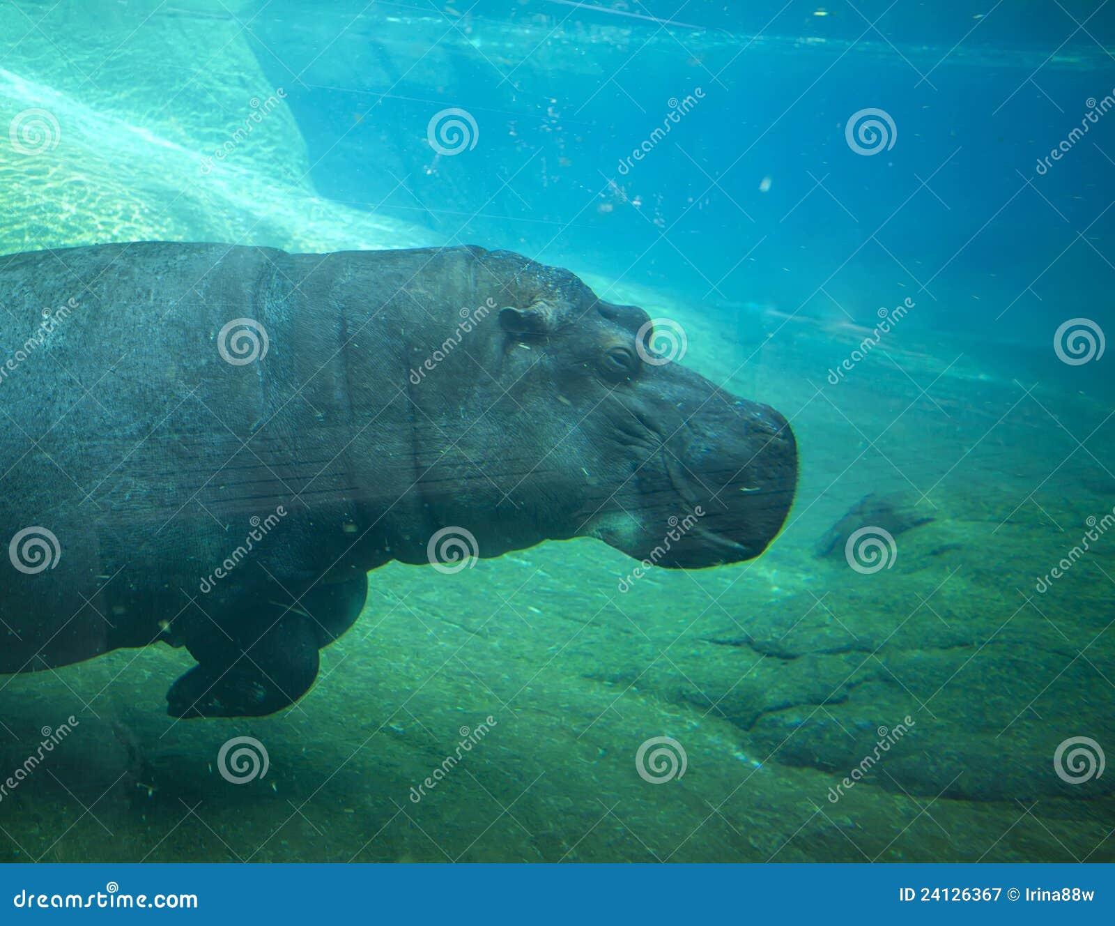 Zoo för diego flodhästsan simning