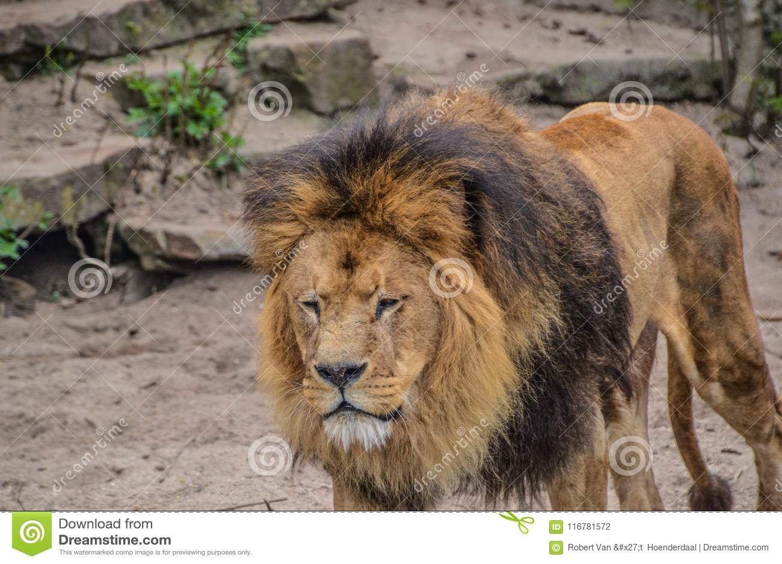 Zoo masculin de Lion Walking Around At The Artis