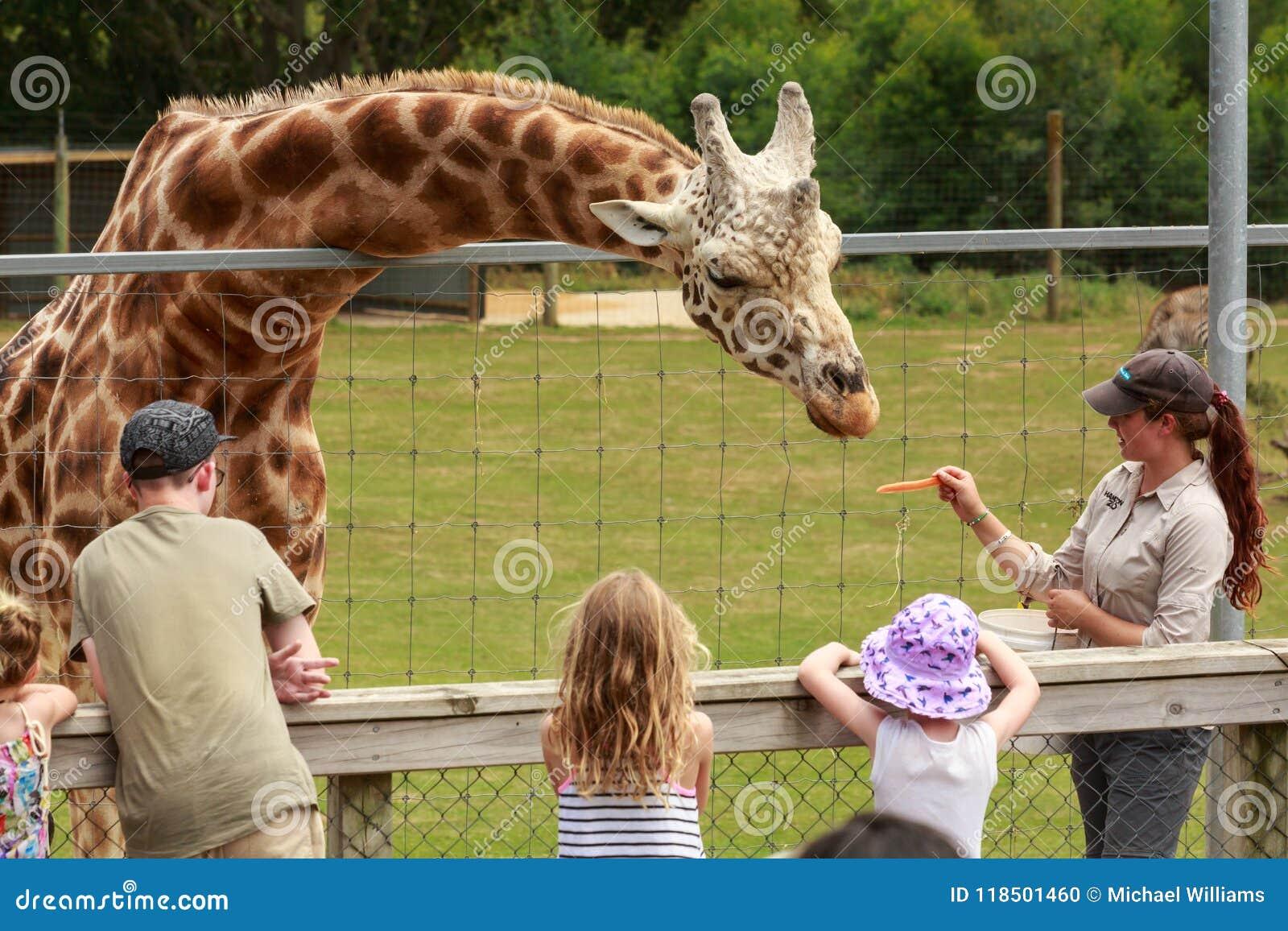 A Zookeeper Hand-feeding A Giraffe Editorial Image - Image ...