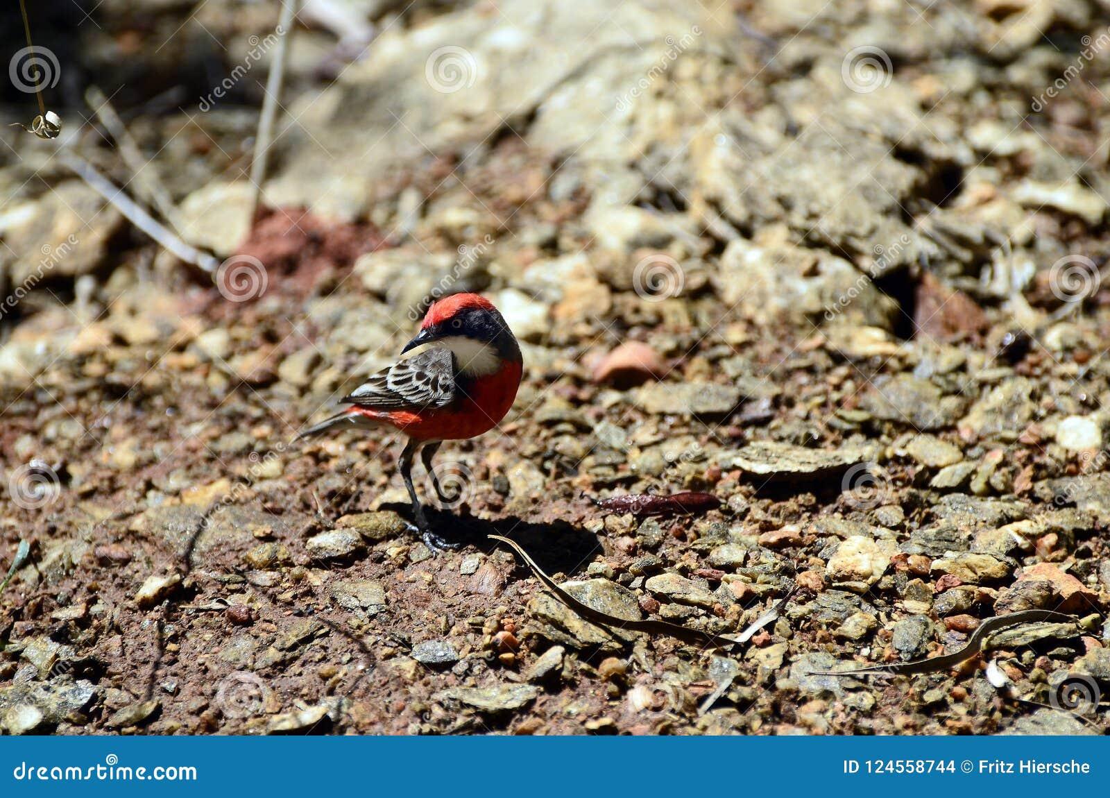 Zoologie, Vögel von Australien
