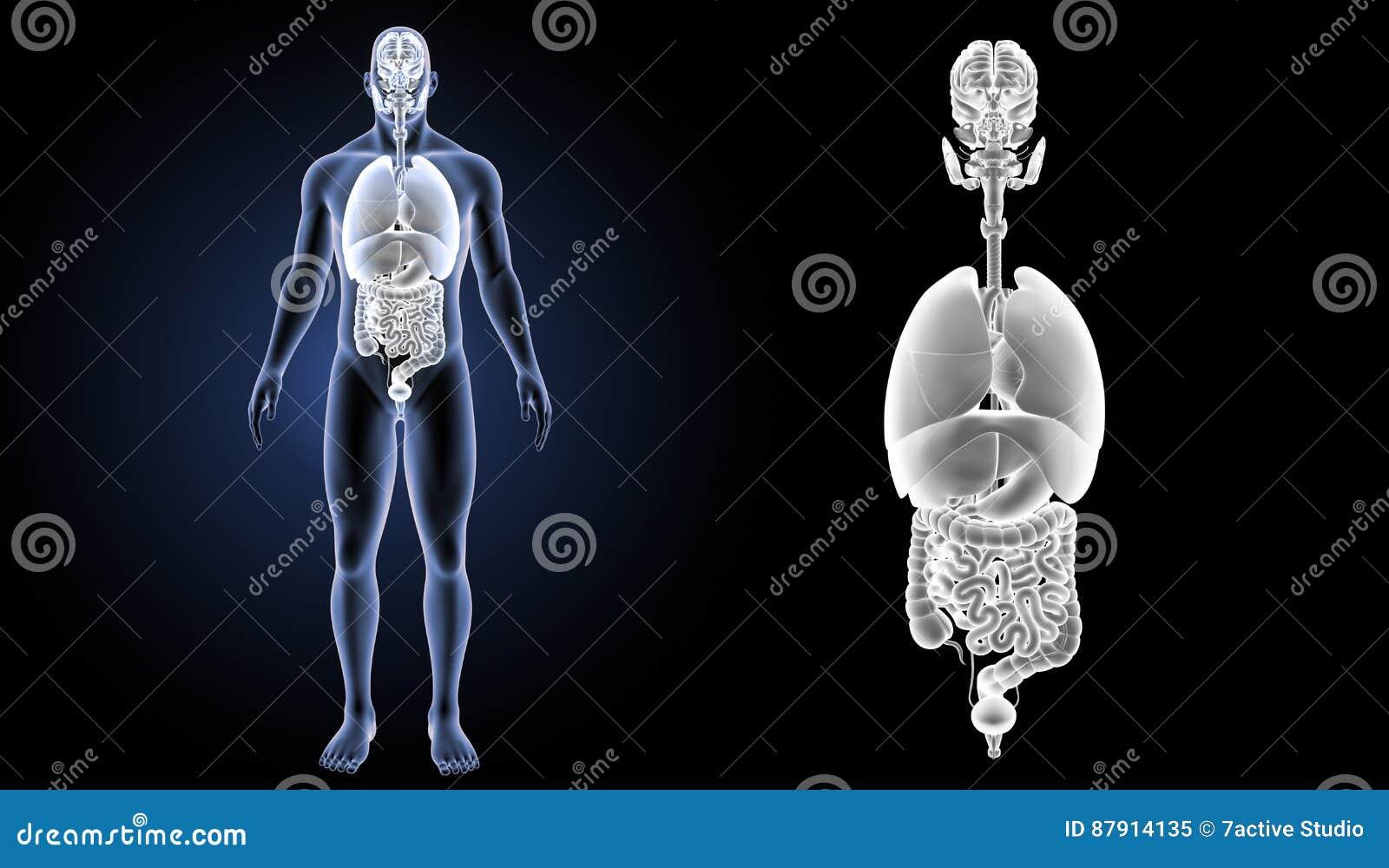 Zoom der menschlichen Organe mit Körpervorderansicht