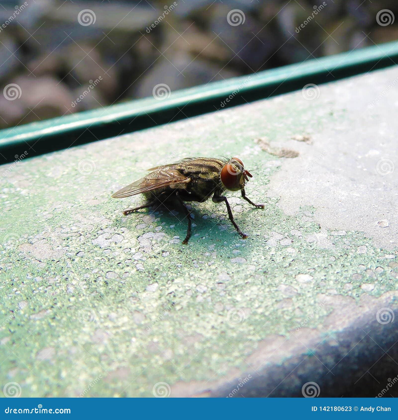 Zooma-i och närbildtillfångatagandet av en kinesisk fluga i parkerar