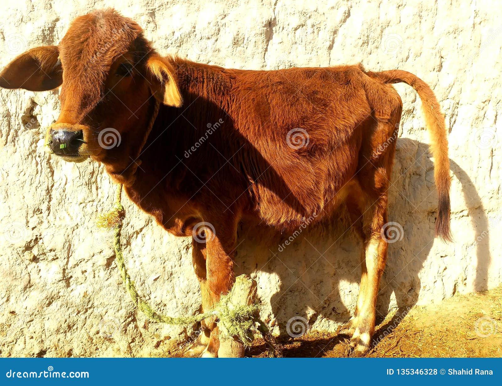 Zoon van koe