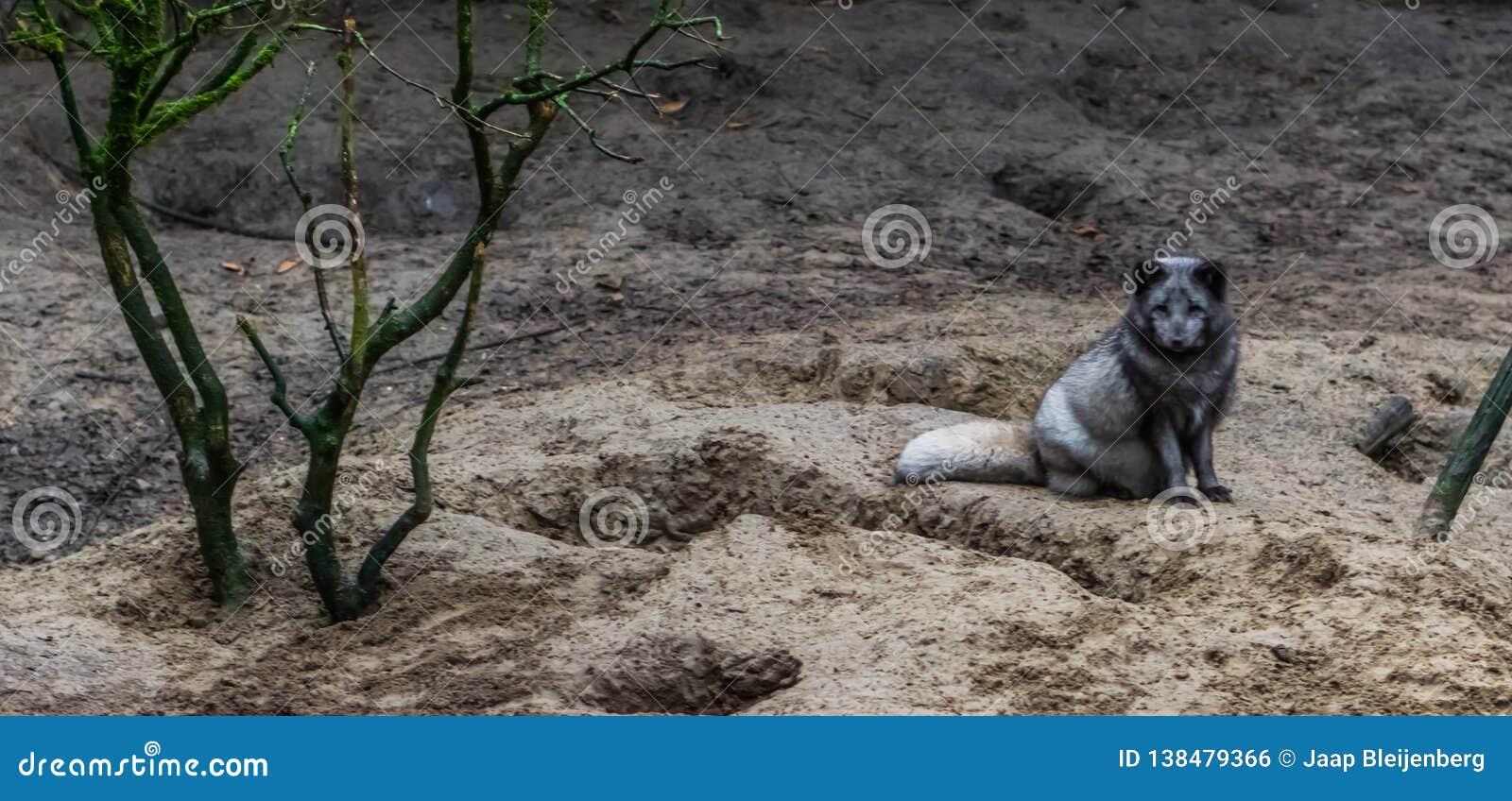 Zorro ártico que se sienta en la arena, animal del hemisferio norte