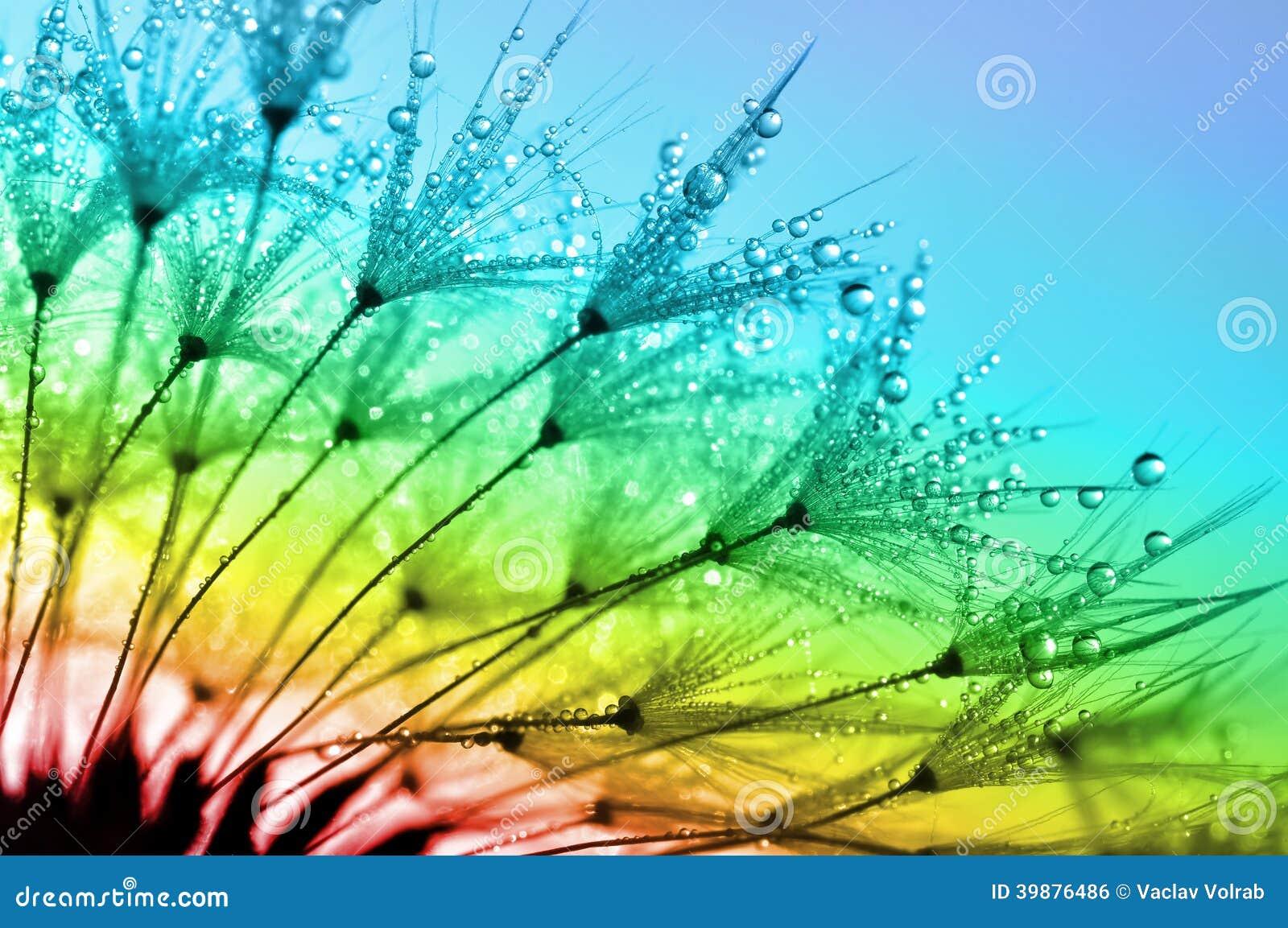 Zroszony dandelion