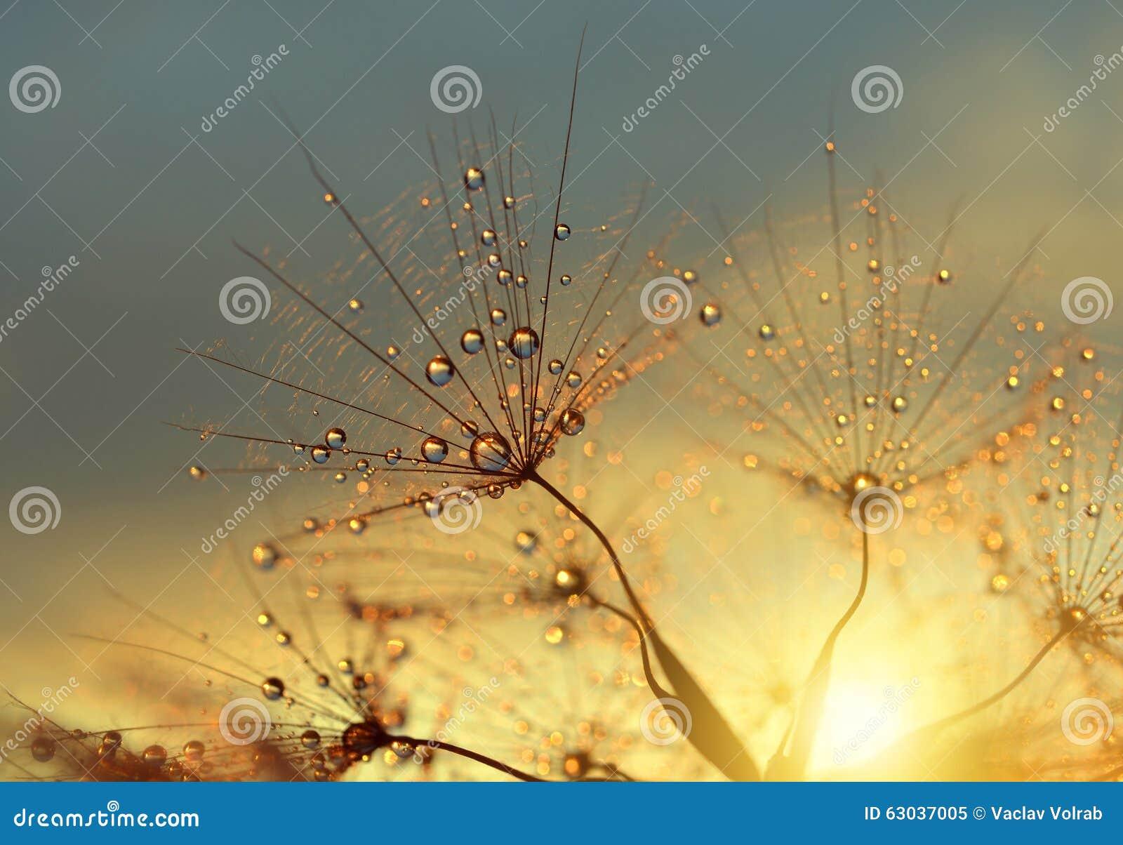 Zroszony dandelion kwiat