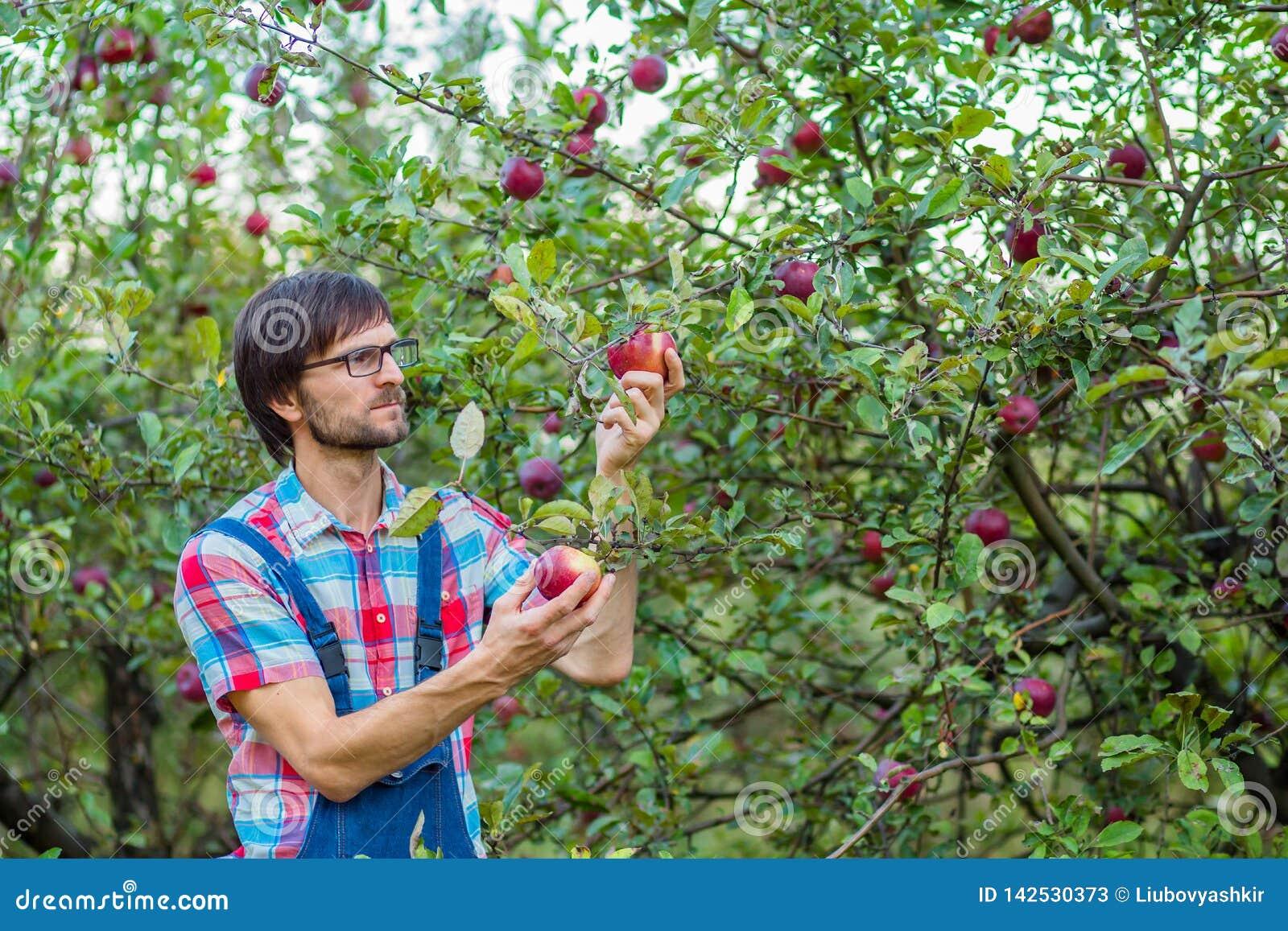 Zrywań jabłka Mężczyzna z pełnym koszem czerwoni jabłka w ogródzie