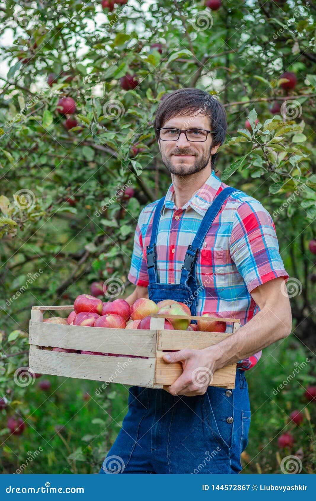 Zrywa? jab?ka M??czyzna z pe?nym koszem czerwoni jab?ka w ogr?dzie