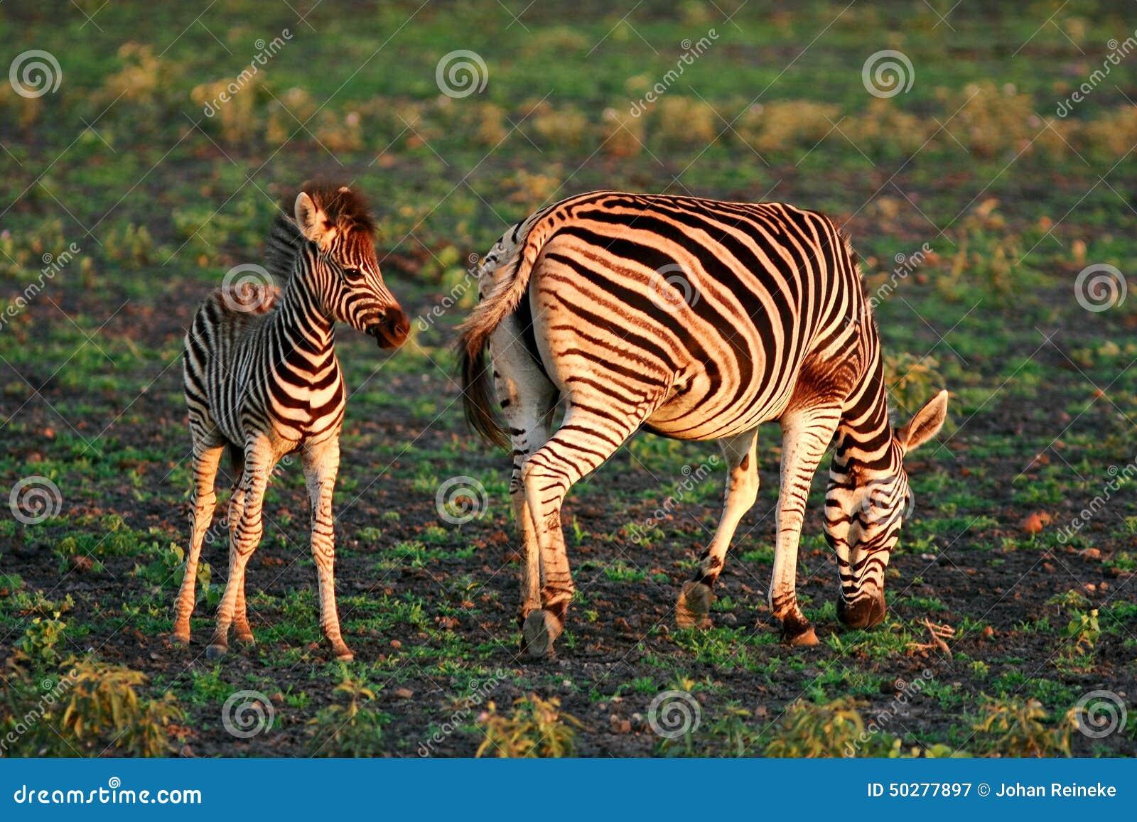Zsbras africanos selvagens