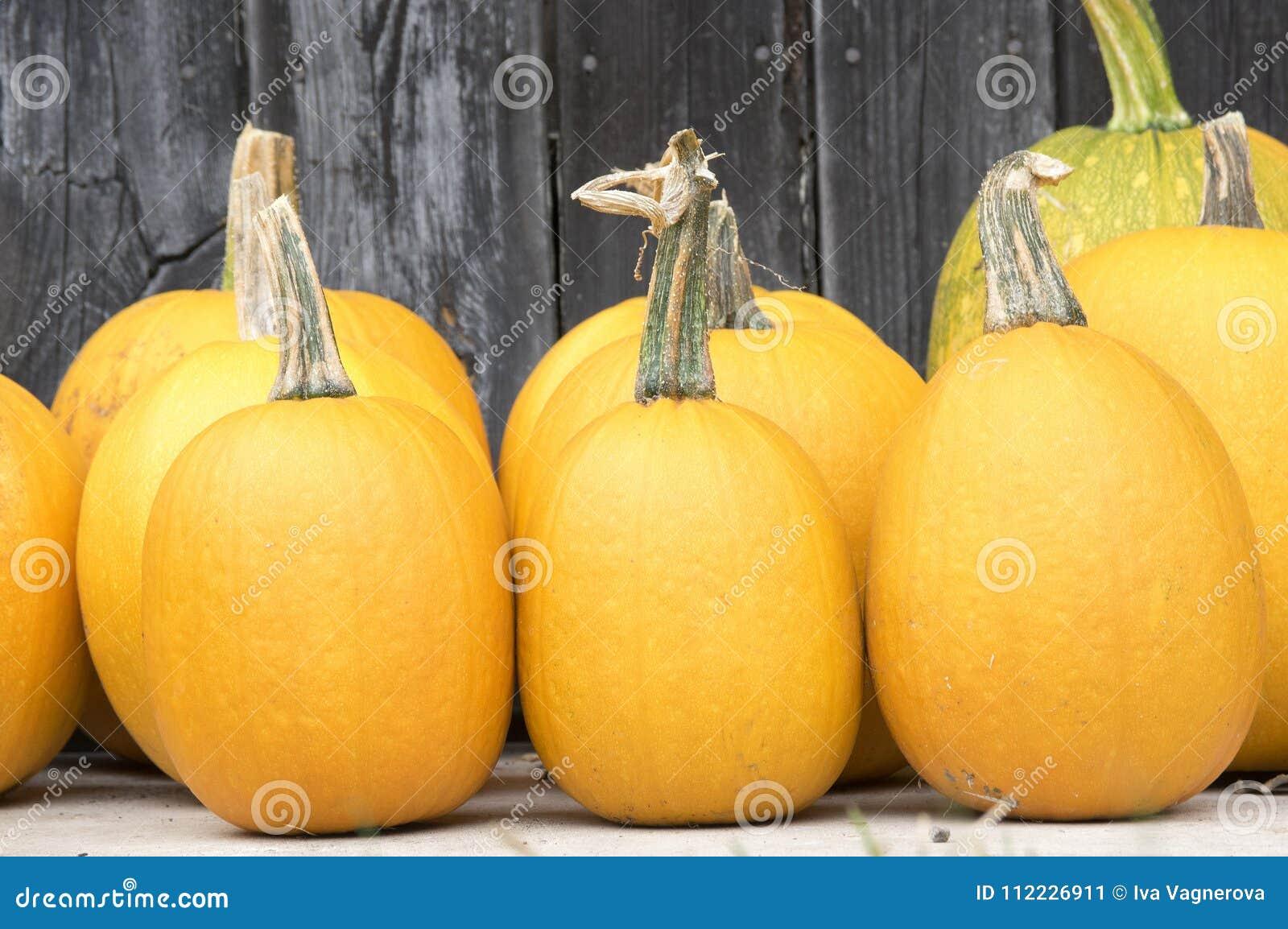 Pianta Di Zucca Di Halloween.Zucca Pianta Strisciante Giro Oblate Styriaca Ovale Di Cucurbita