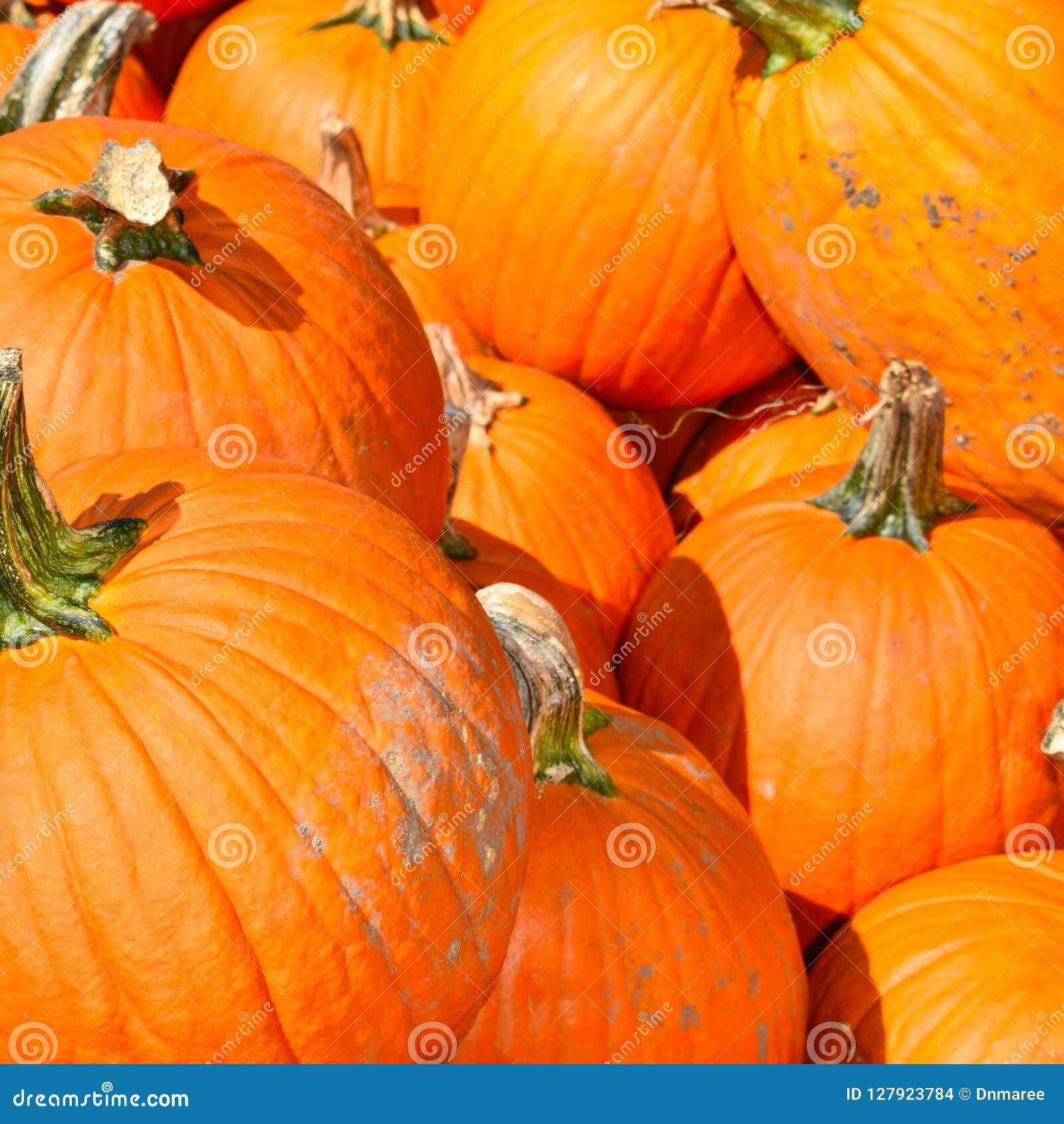 Zucche un giorno dell autunno in Groton, Massachusetts, la contea di Middlesex, Stati Uniti Caduta della Nuova Inghilterra