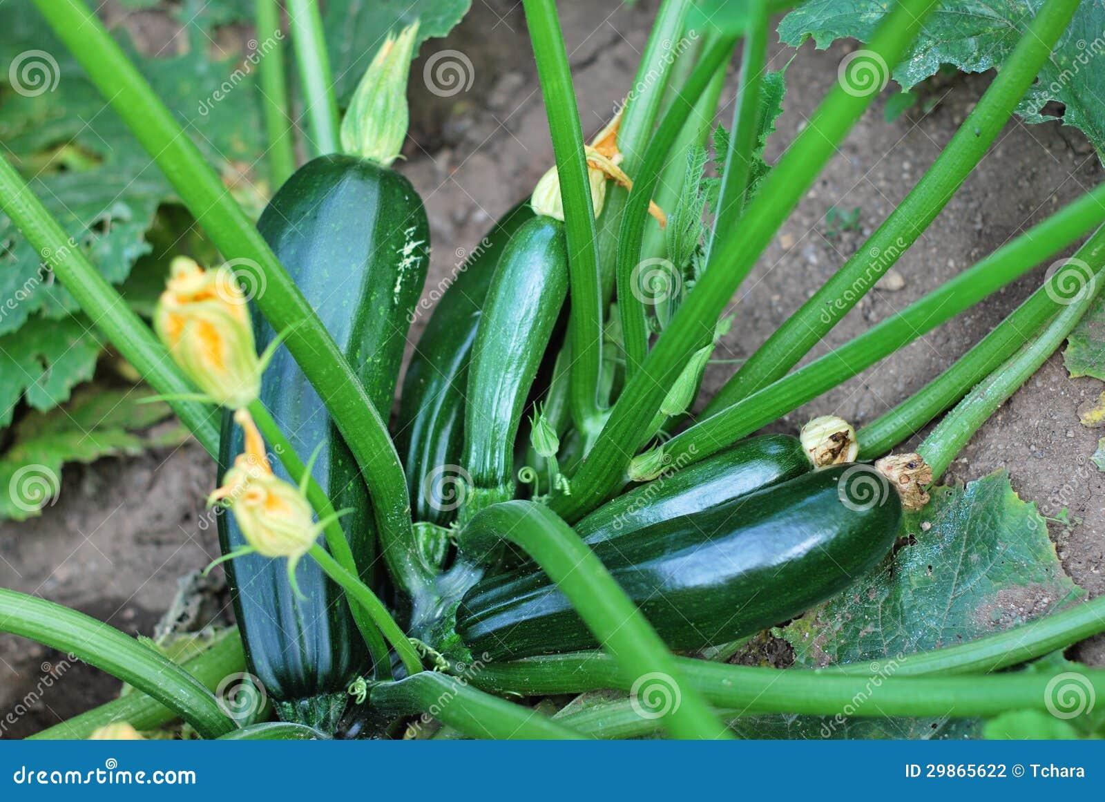 Zucchini Plant Stock Photography - Image: 29865622 Zucchini Plant Images