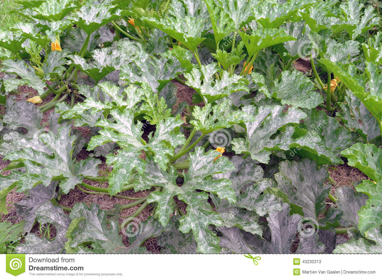 Zucchini plants in the organic vegetable garden stock for Dream plants for the natural garden