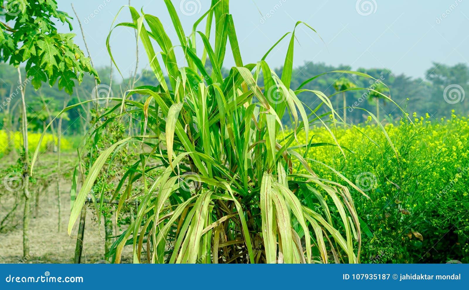Zuckerrohr im breiten Ansichtmodus