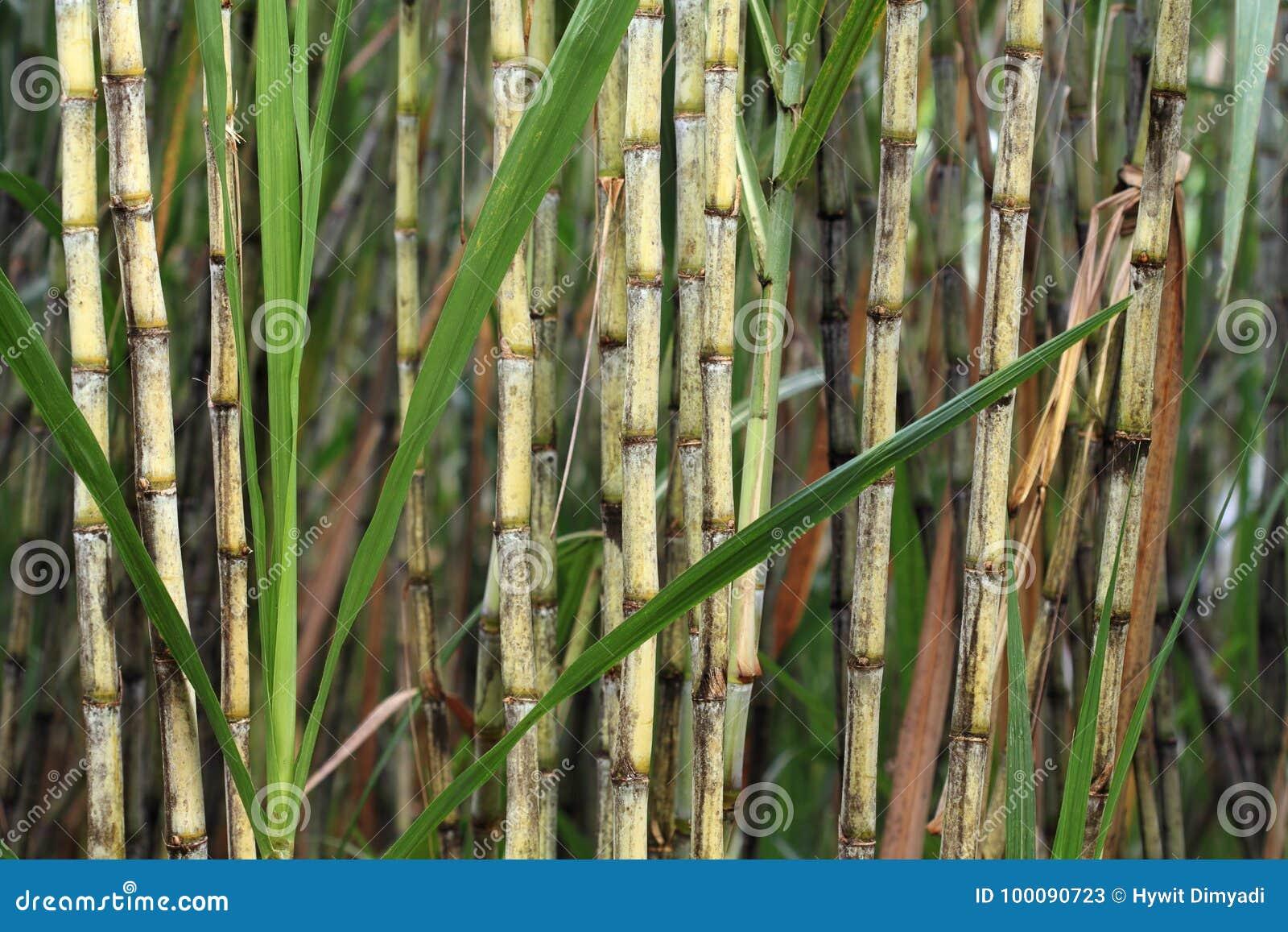 Zuckerrohranlage