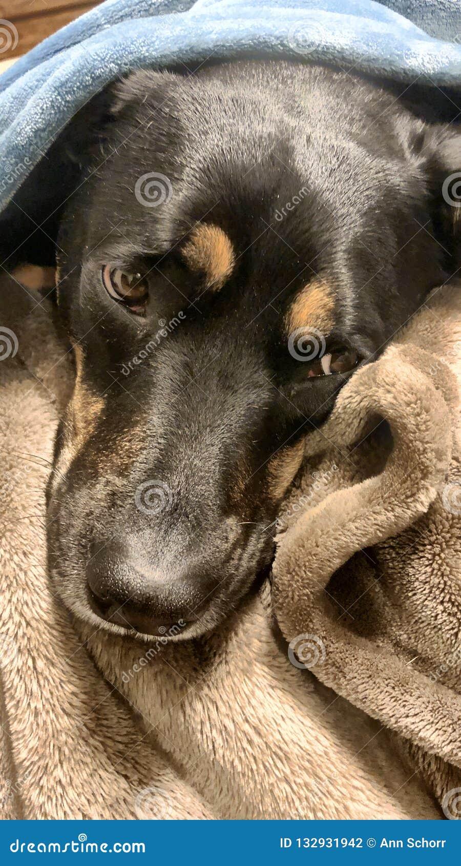 Zufriedener Rottweiler-Hund