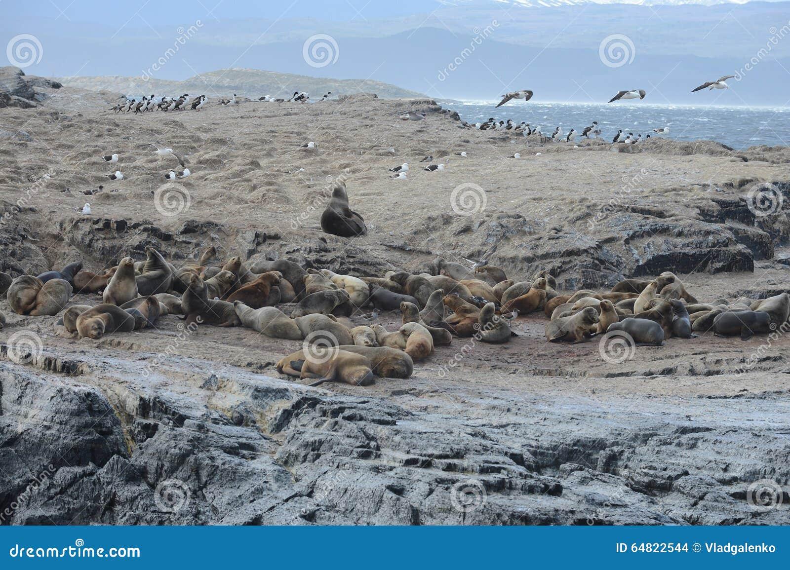 Zuidamerikaanse zeeleeuw, Otaria flavescens, het kweken kolonie en haulout op kleine eilandjes enkel buitenkant Ushuaia