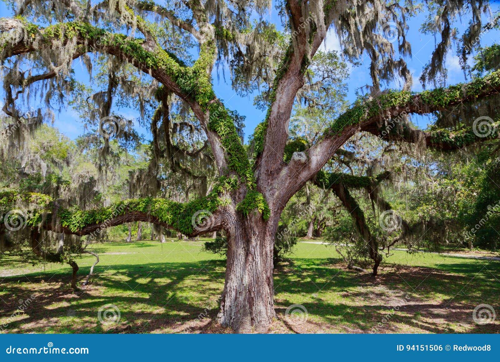 Zuidelijk Live Oak Tree