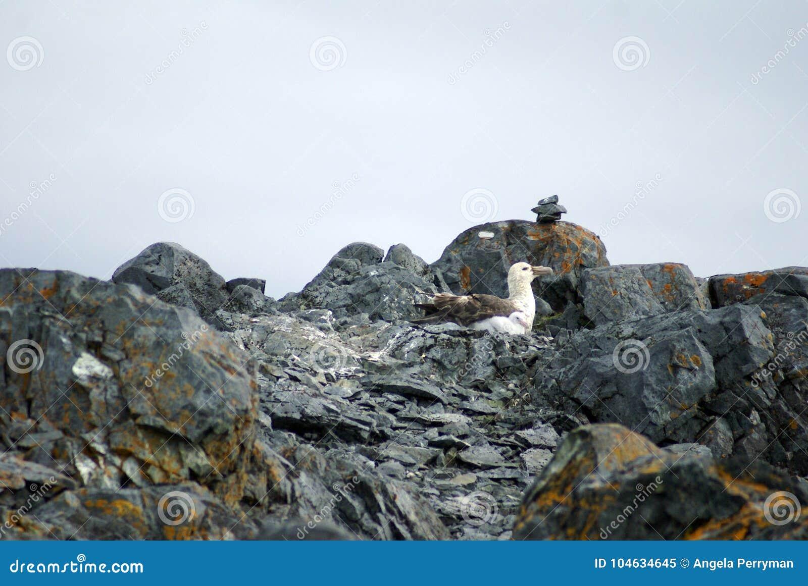 Download Zuidelijke Reuzestormvogel In Antarctica Stock Afbeelding - Afbeelding bestaande uit frigid, zuiden: 104634645