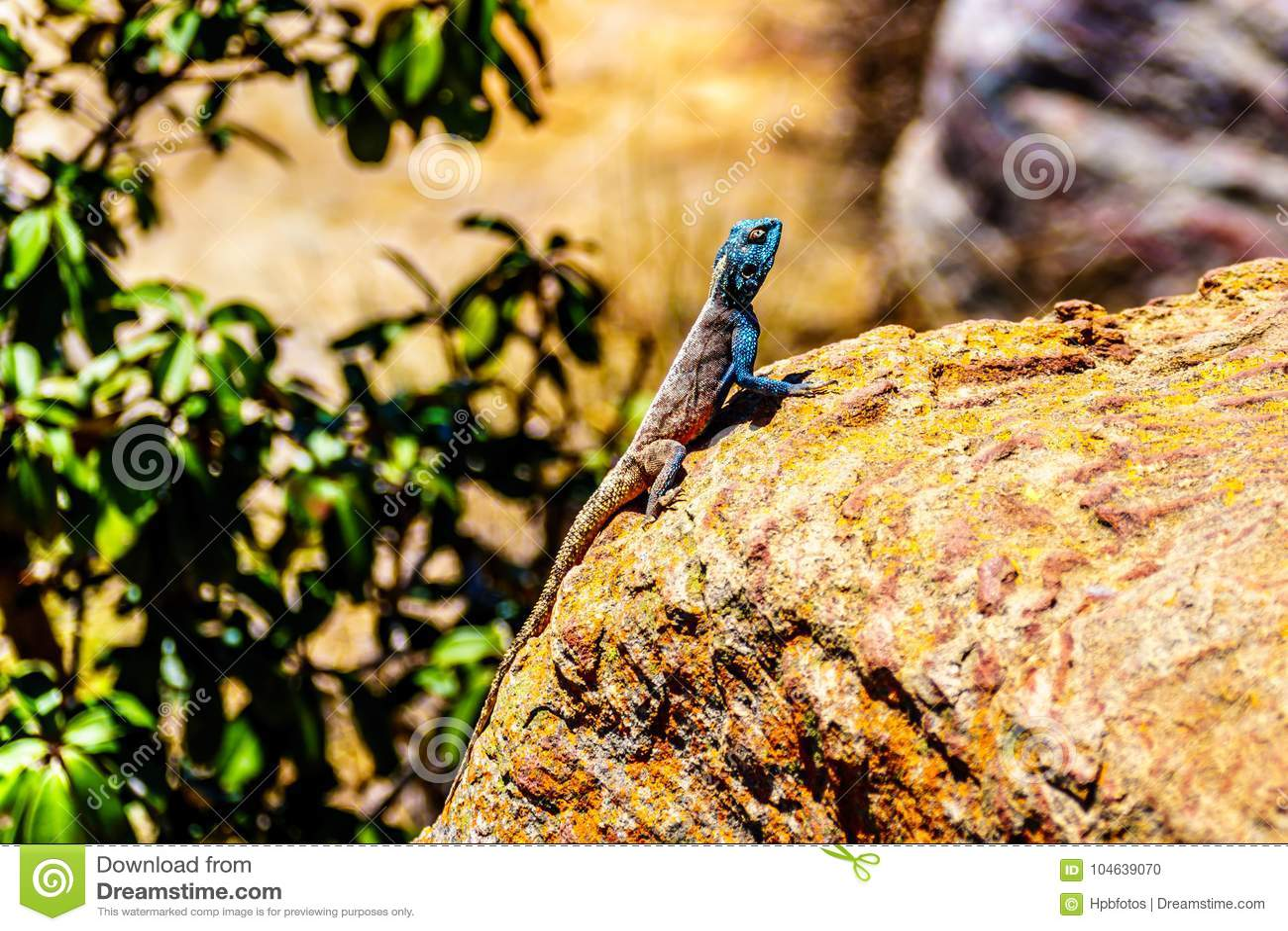 Download Zuidelijke Rotsagama Hagedis, Of Agama Atra Stock Foto - Afbeelding bestaande uit draak, lichaam: 104639070