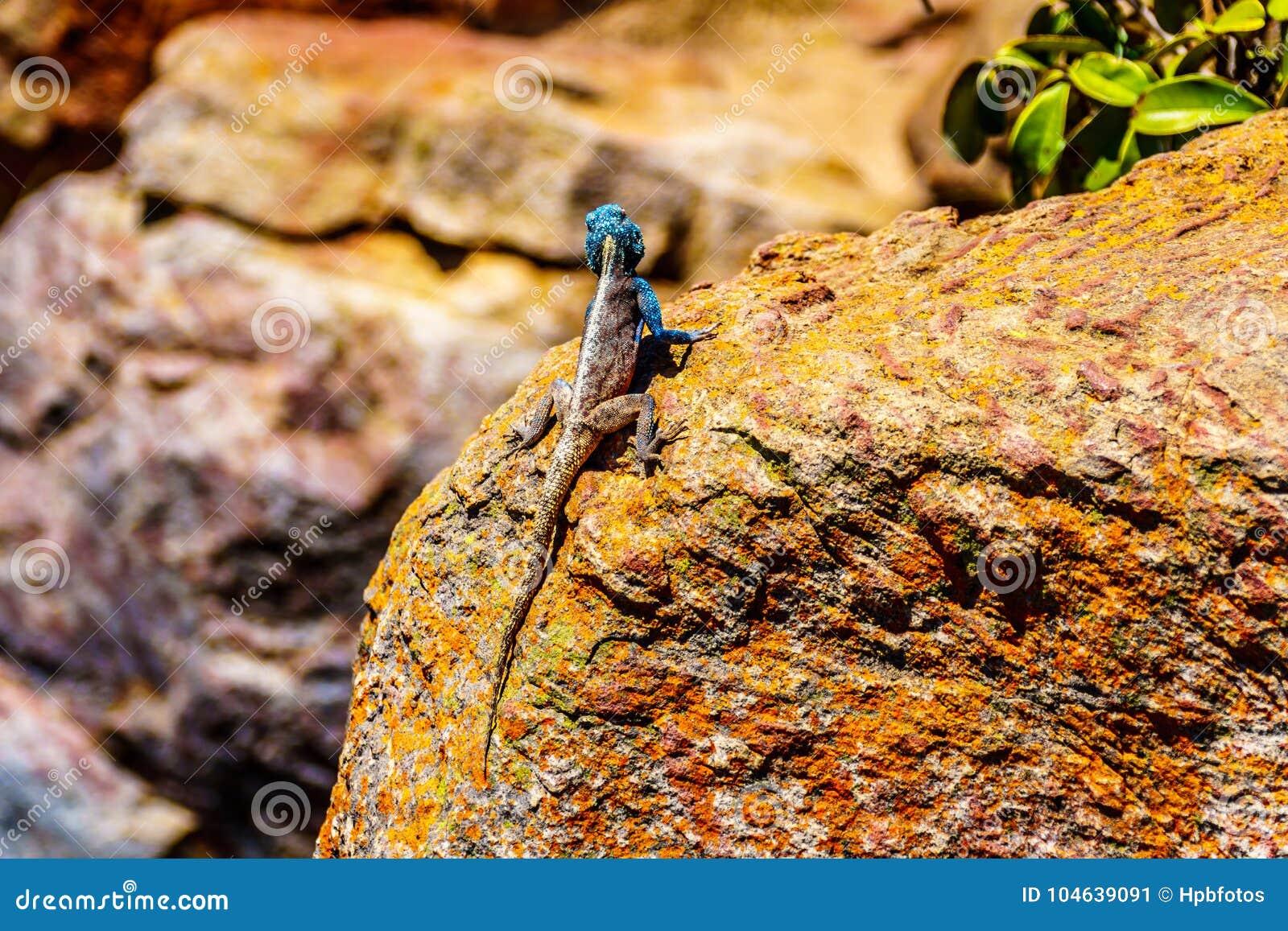Download Zuidelijke Rotsagama Hagedis, Of Agama Atra Stock Afbeelding - Afbeelding bestaande uit draak, lichaam: 104639091
