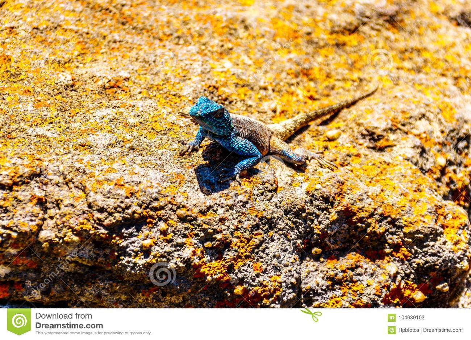 Download Zuidelijke Rotsagama Hagedis, Of Agama Atra Stock Afbeelding - Afbeelding bestaande uit metaal, bergen: 104639103