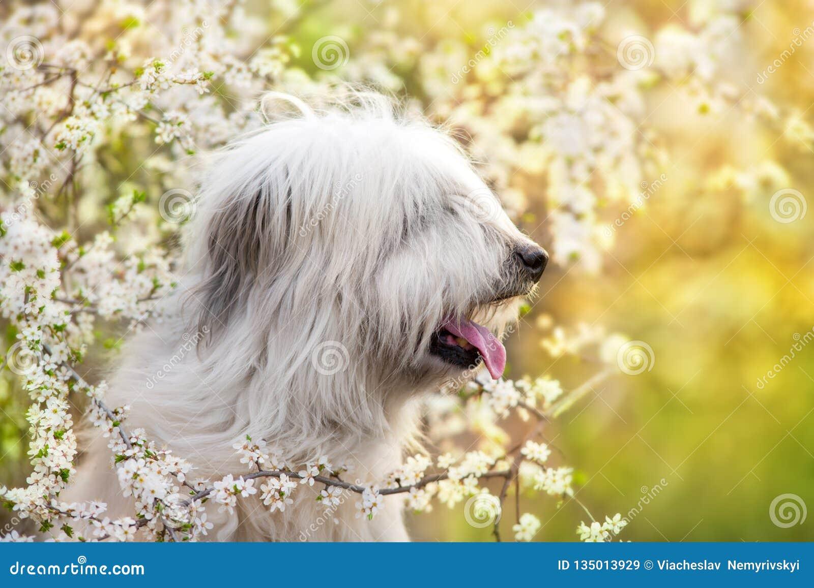 Zuiden Russische herdershond