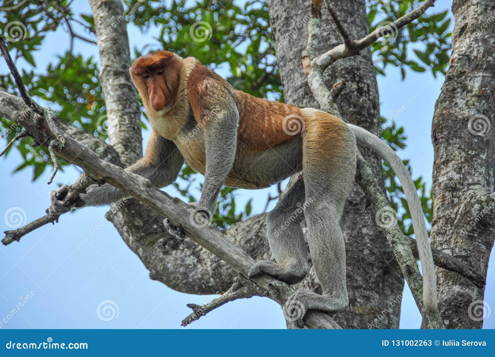 Zuigorganenaap op Borneo