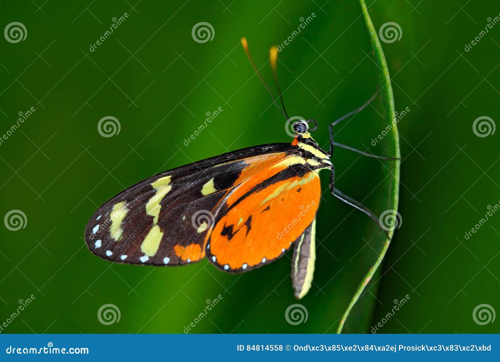 Zuleikas Heliconius Hacale πεταλούδων, στο βιότοπο φύσης Έντομο της Νίκαιας από τη Κόστα Ρίκα στην πράσινη δασική συνεδρίαση πετα