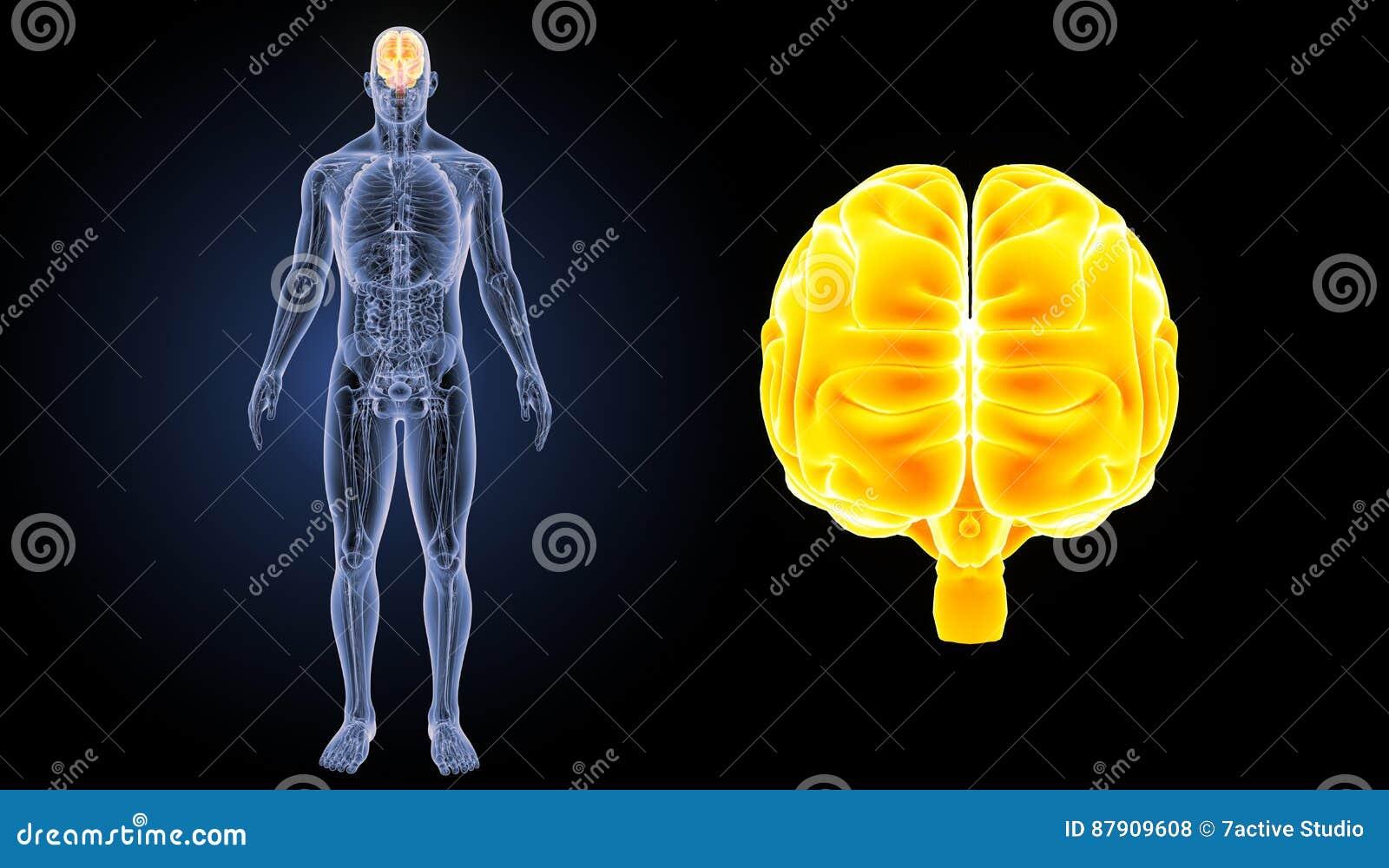 Zumbido Do Cérebro Humano Com Opinião Anterior Da Anatomia ...
