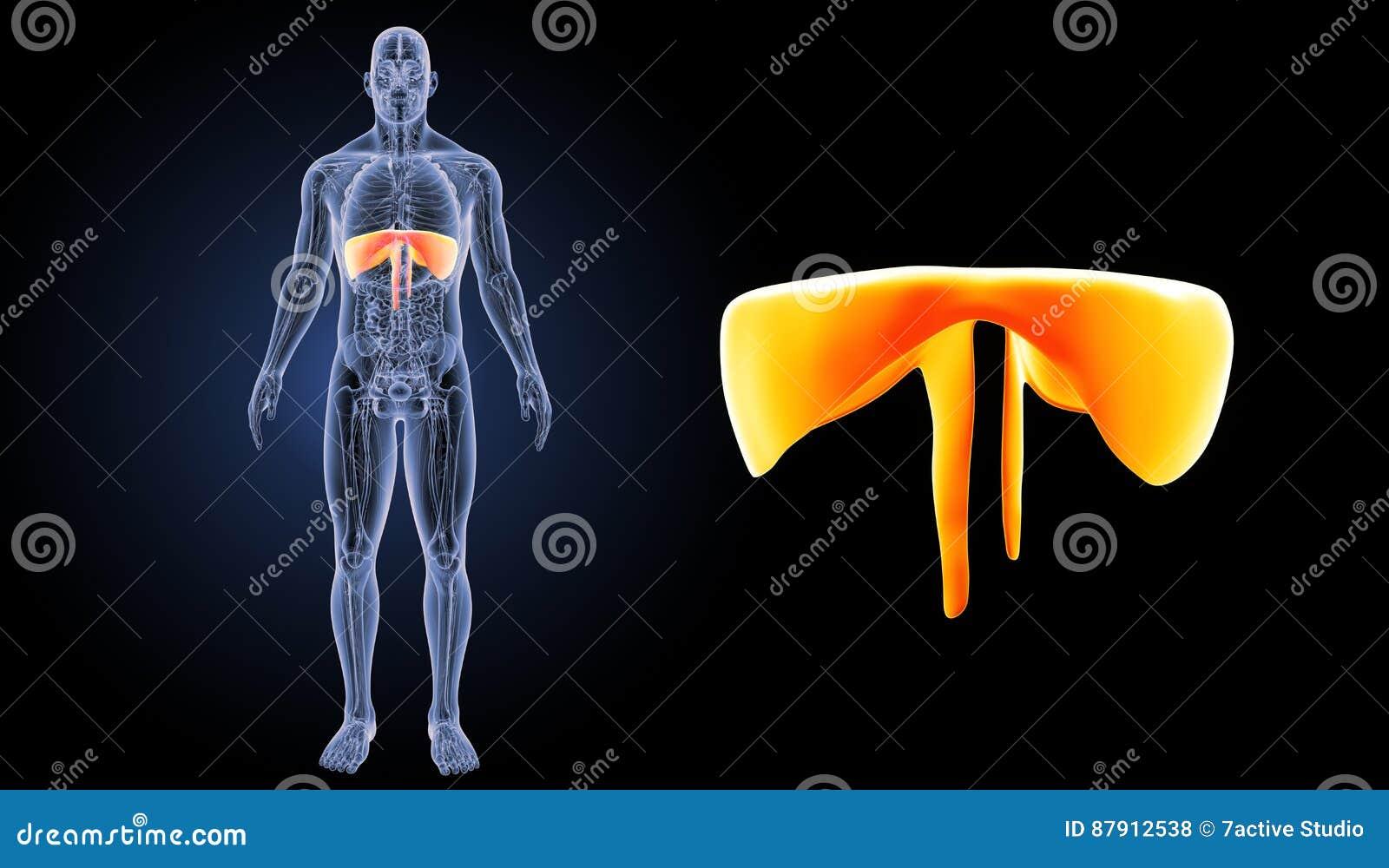 Asombroso Anatomía Del Zumbido Composición - Imágenes de Anatomía ...
