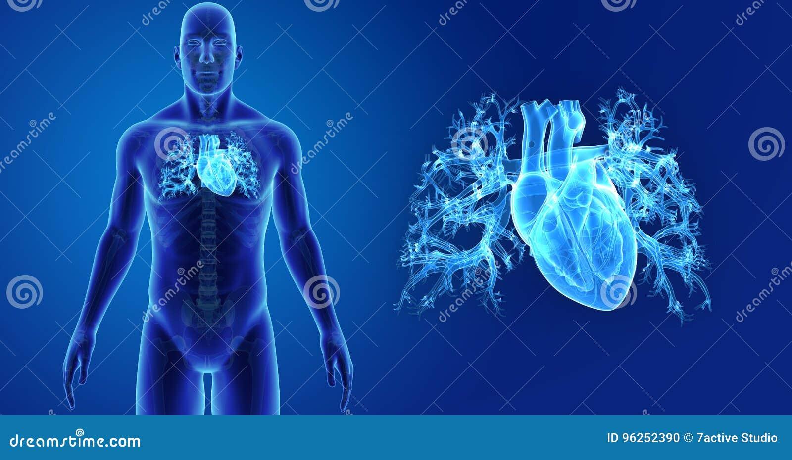 Zumbido Humano Do Coração Com Vista Anterior De Esqueleto Ilustração ...