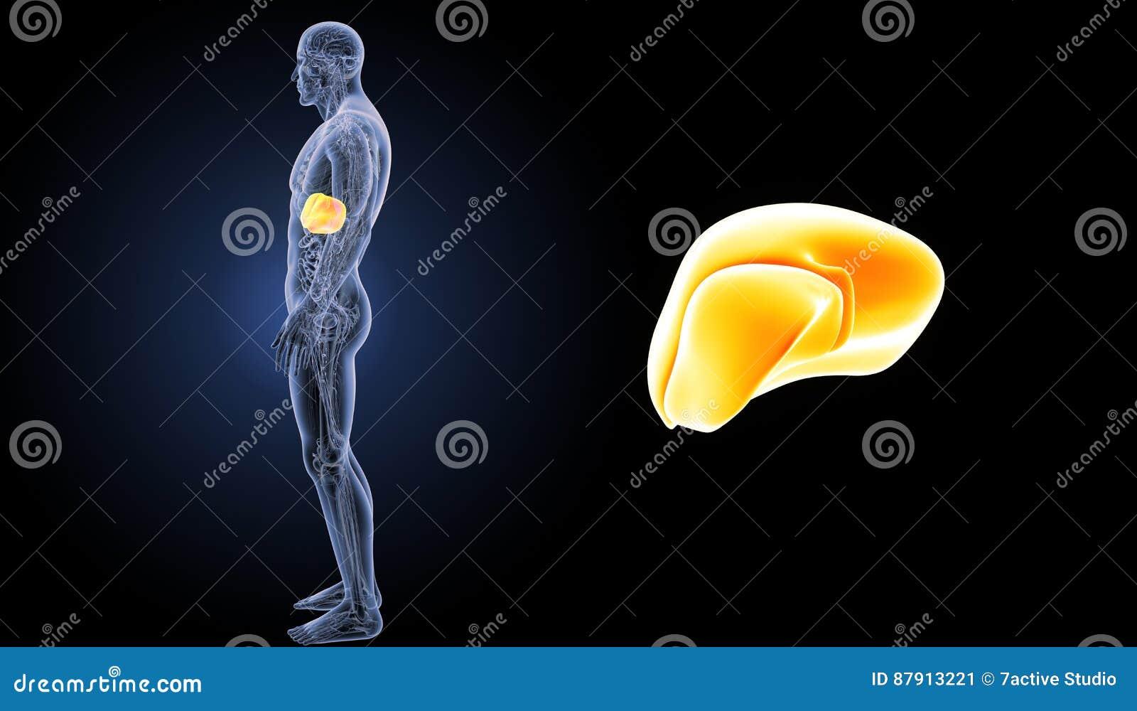 Zumbido Humano Do Fígado Com Opinião Da Lateral Da Anatomia ...