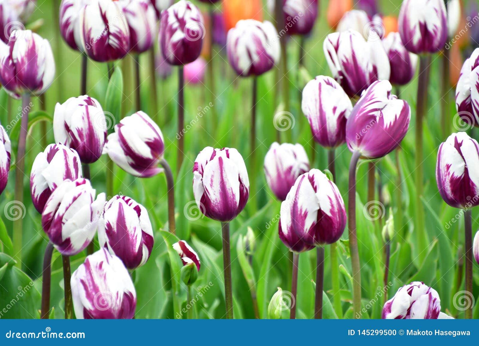 Zurel ist eine Art Triumph-Tulpe
