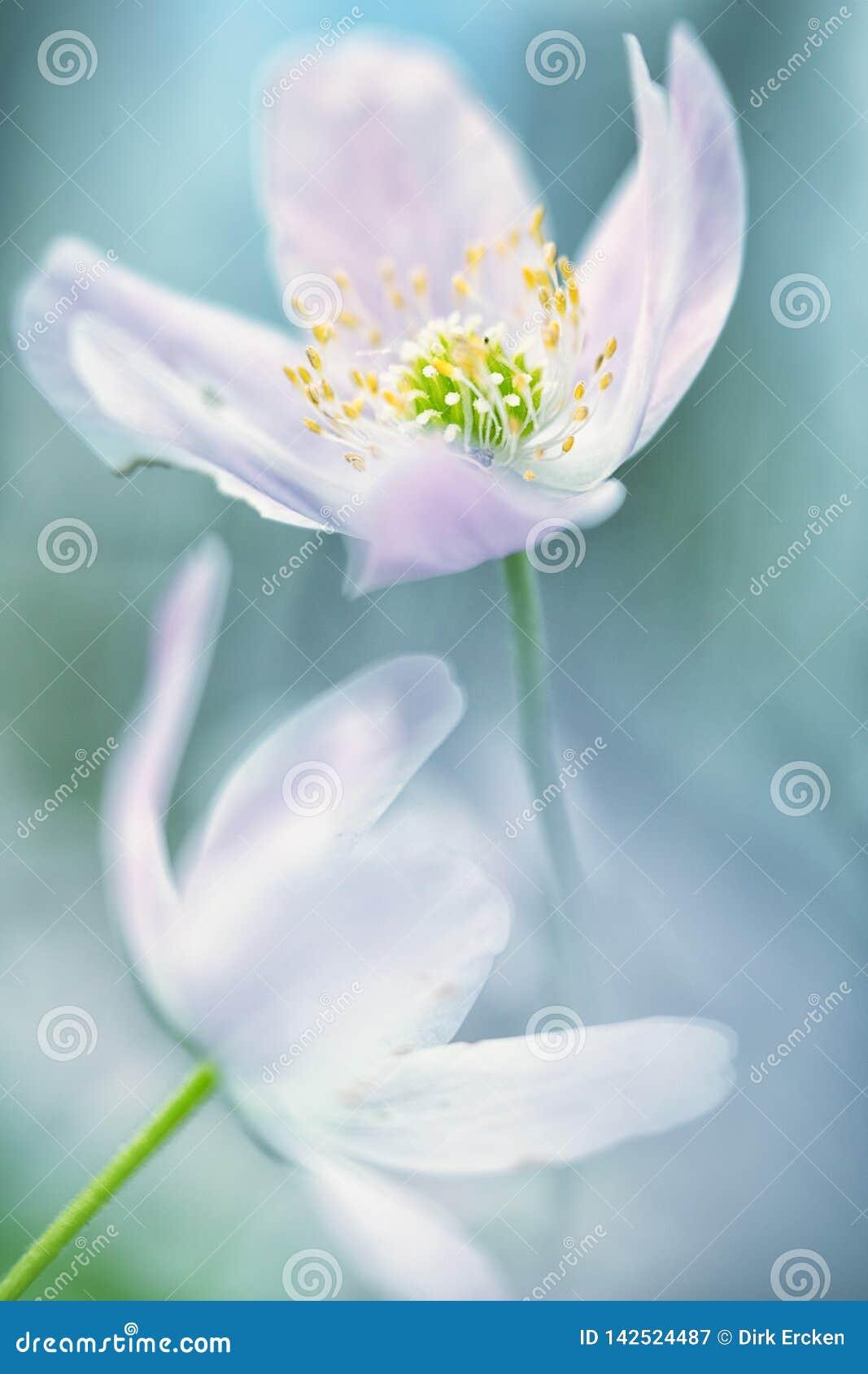 Zusammenfassung der wilden Blume des Buschwindröschens