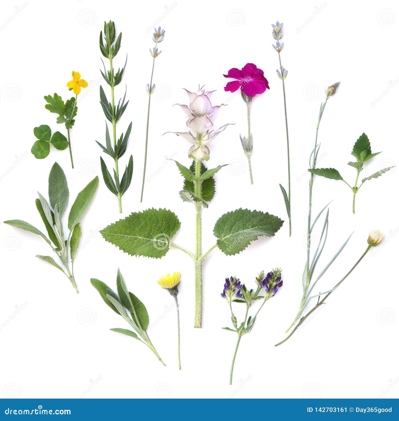 Zusammensetzung von Anlagen und von Blumen auf einem weißen Hintergrund Medizinische würzige aromatische Kräuter Flache Lage, Dra