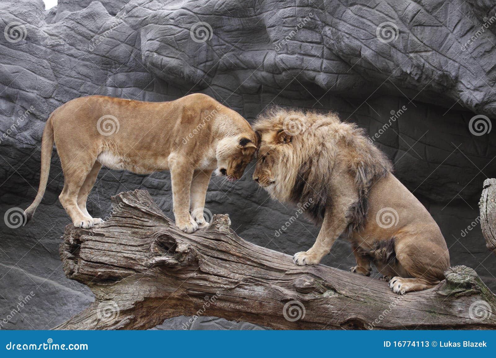 Zusammentreffen der Löwen