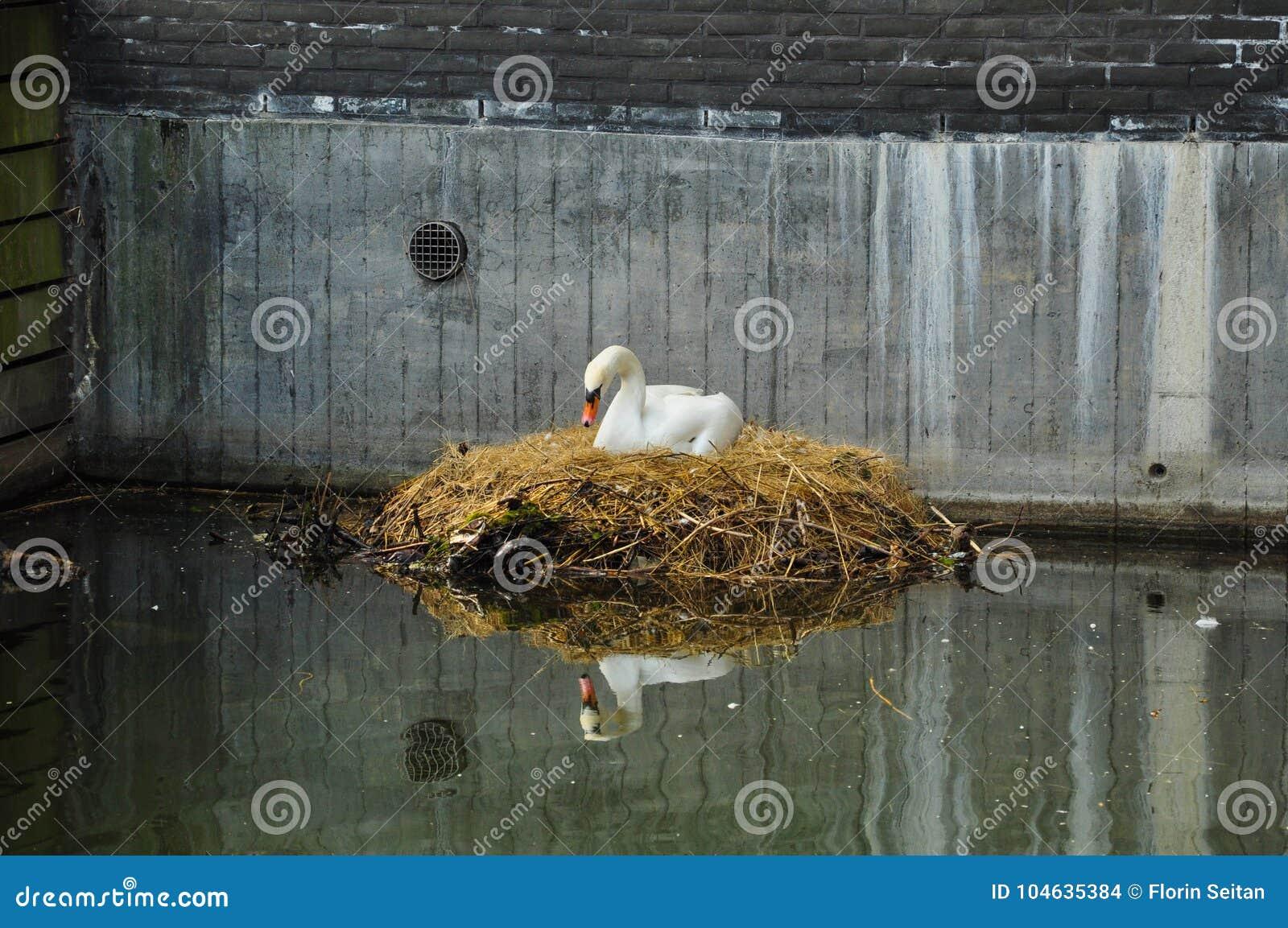 Download Zwaan Die Op Een Stadskanaal/een Stedelijke Widlife Nestelen Stock Foto - Afbeelding bestaande uit rust, vreedzaam: 104635384