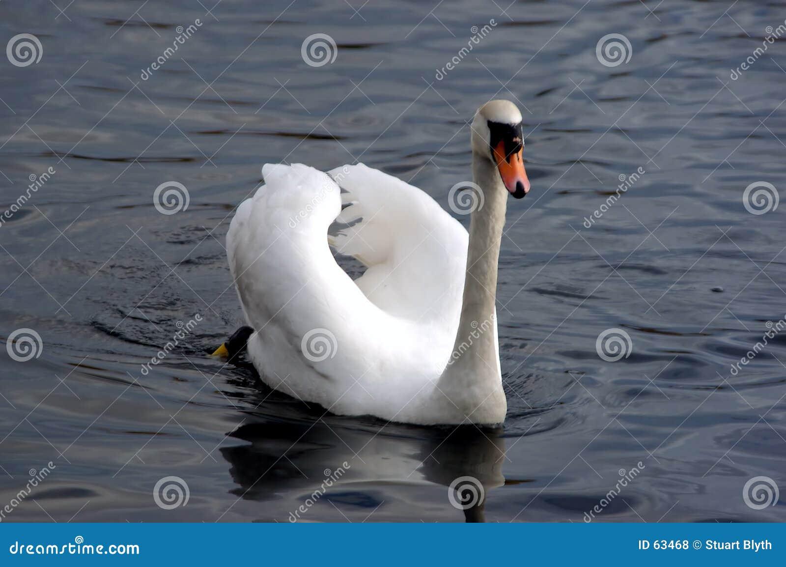 Zwaan op het meer