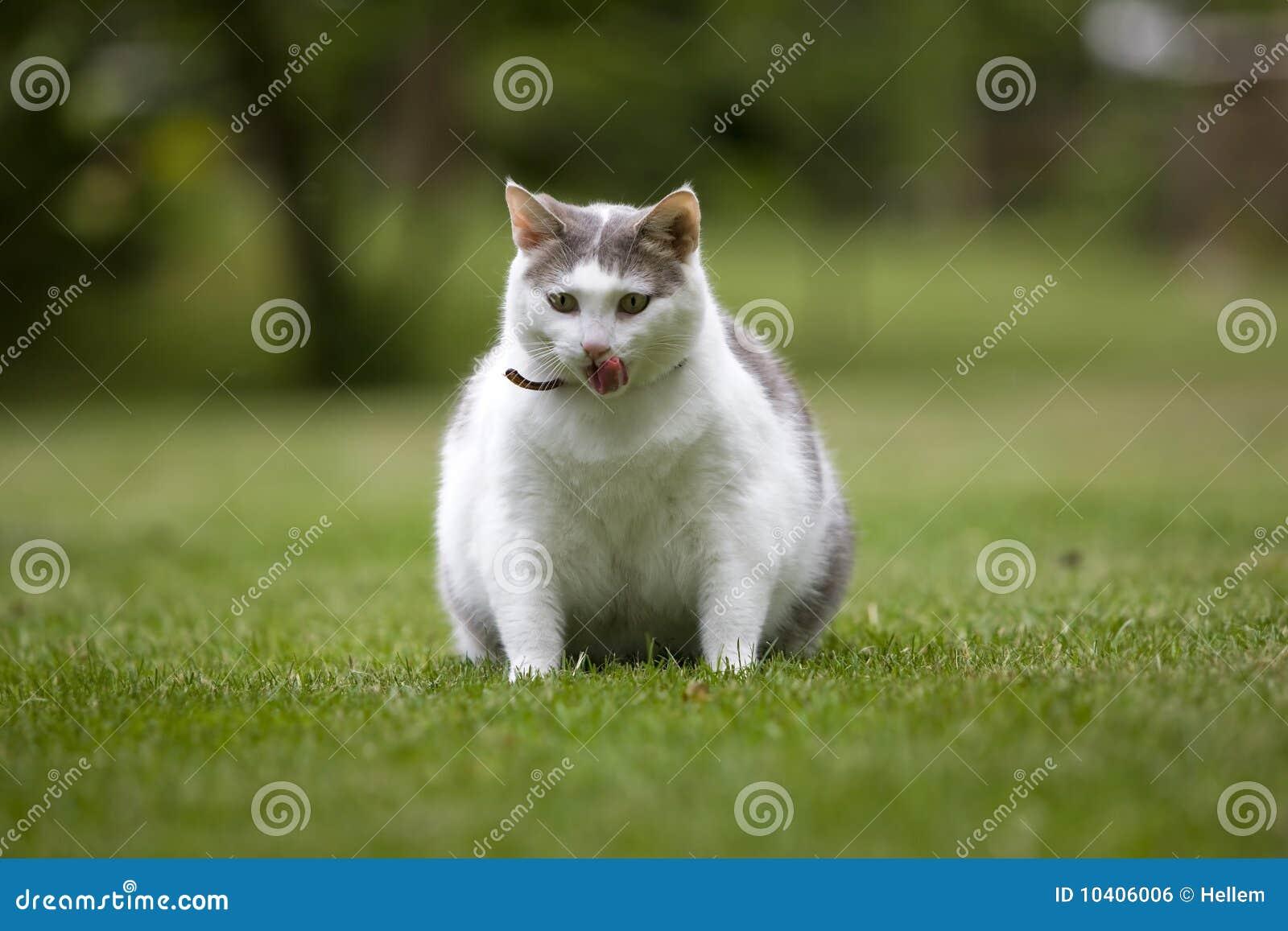 Zwaarlijvige kat