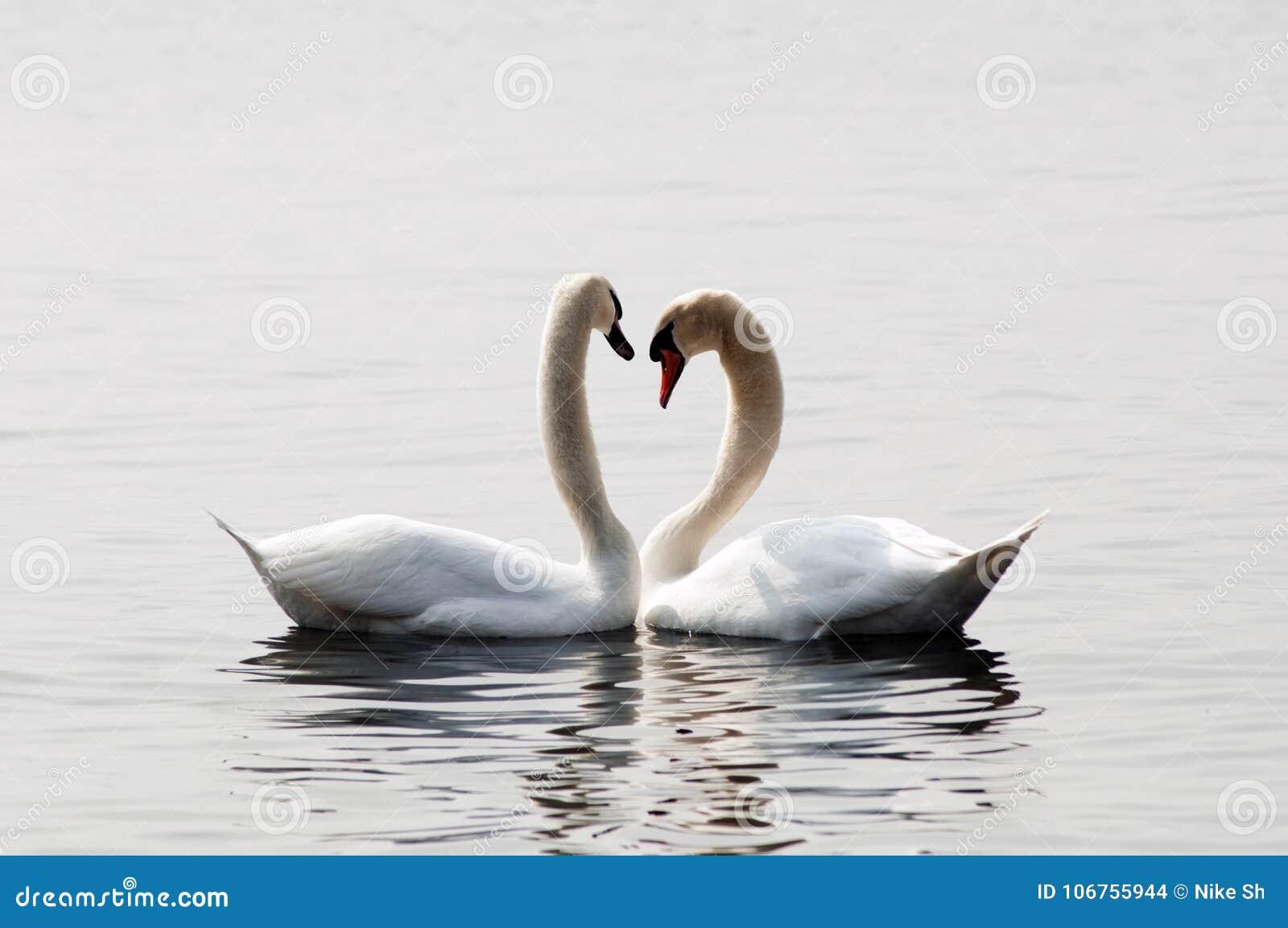 Zwanen in liefde