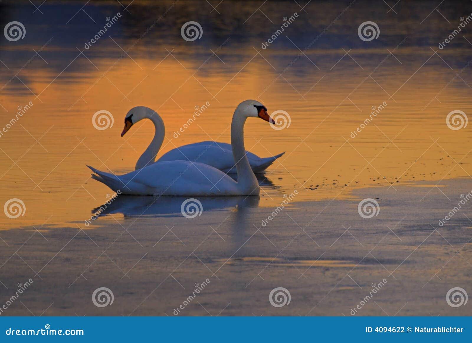 Zwanen op bevroren meer