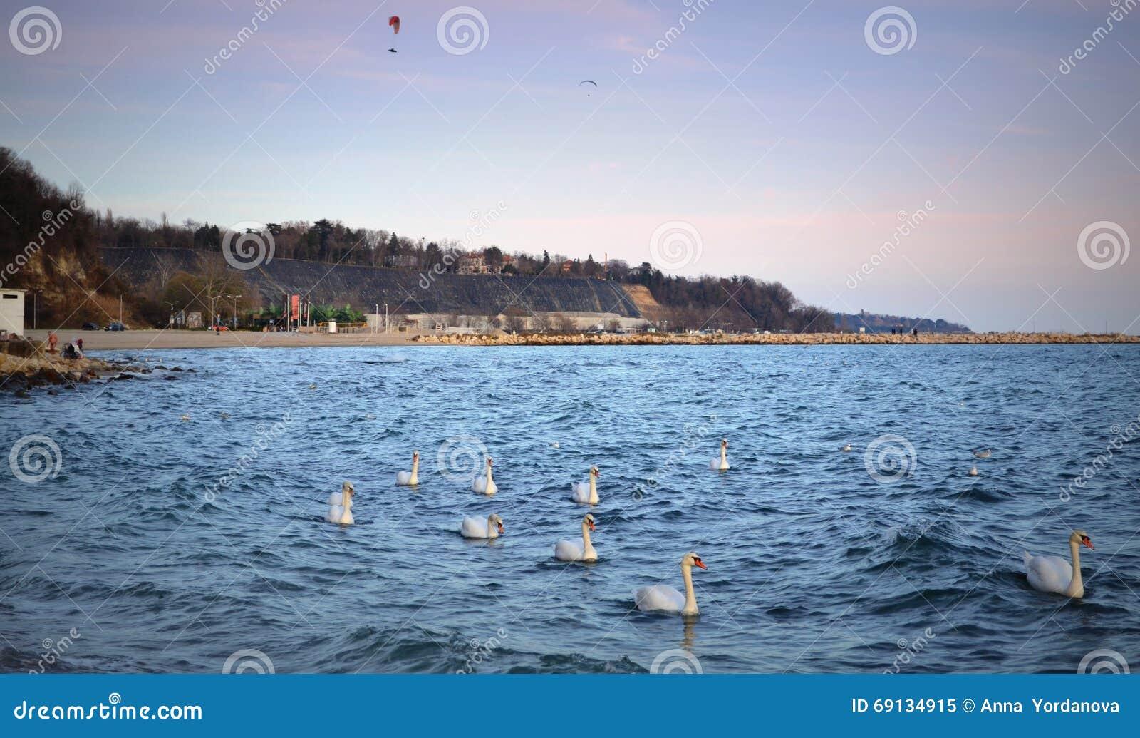 Zwanentroep voor de kust