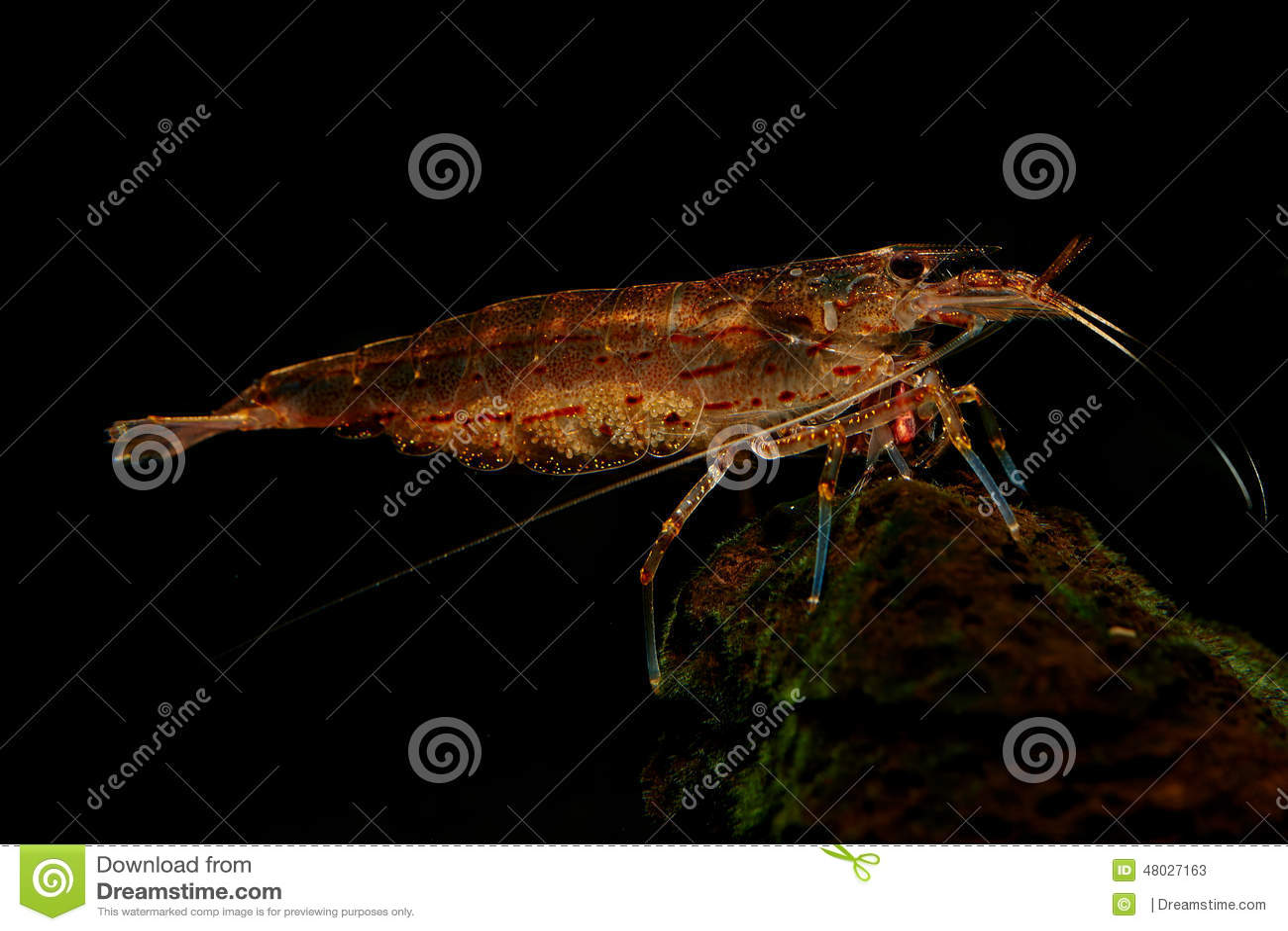 Zwanger Amano Shrimp