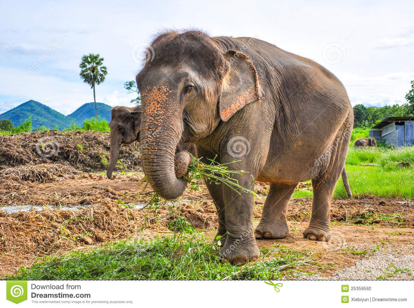 zwanger olifant