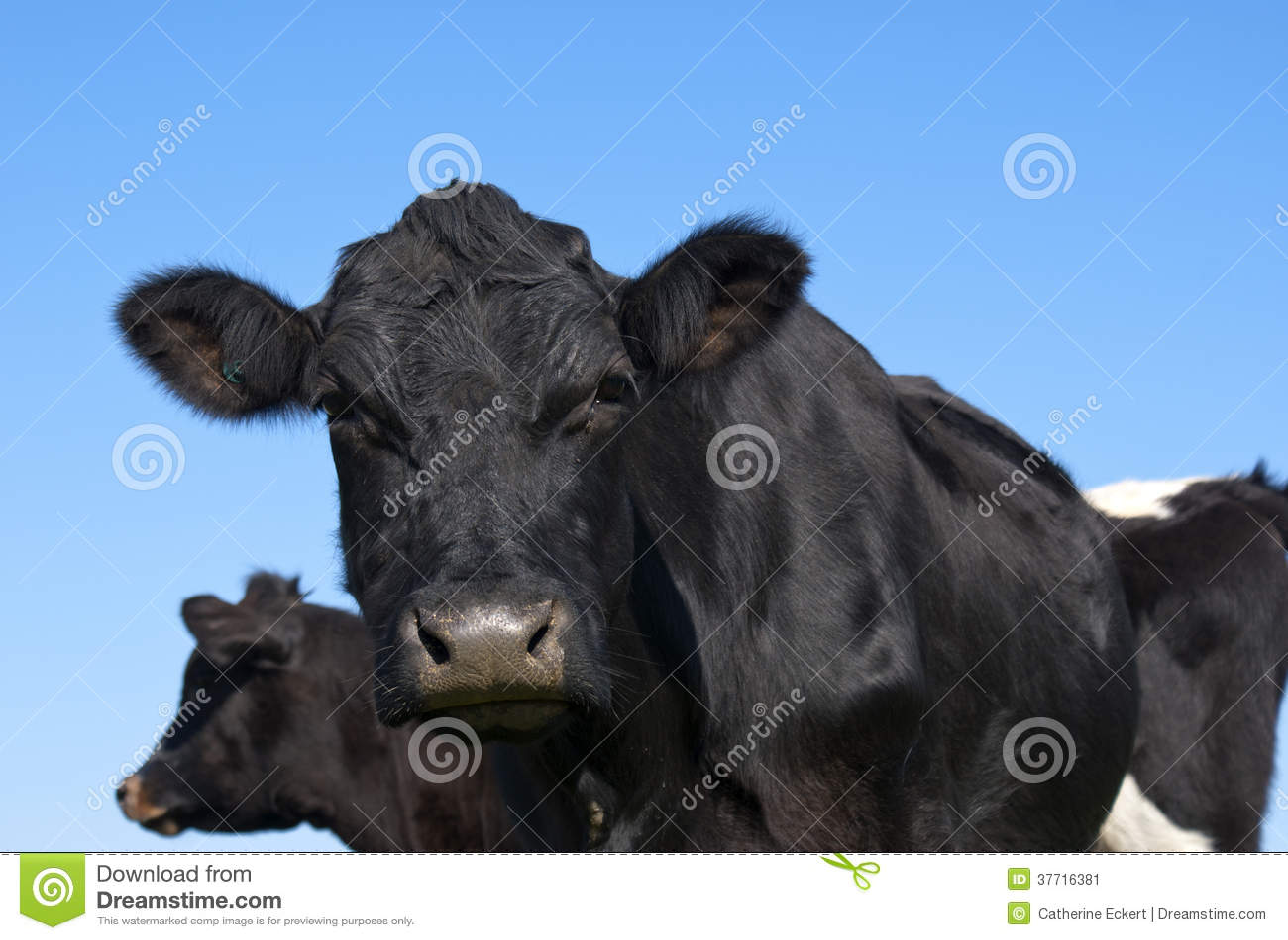 Zwart Angus Cow